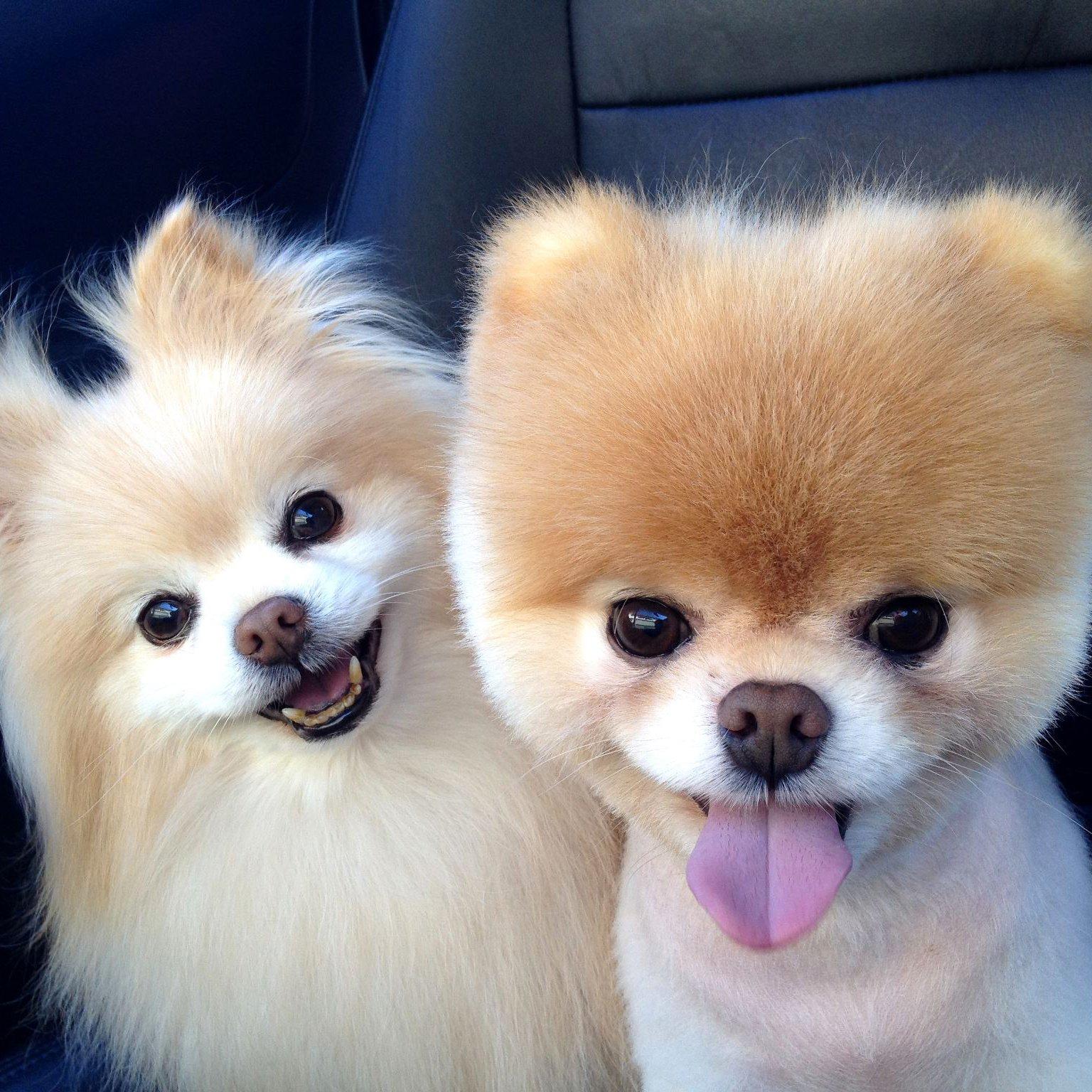 Pomeranians   POPSUGAR Pets