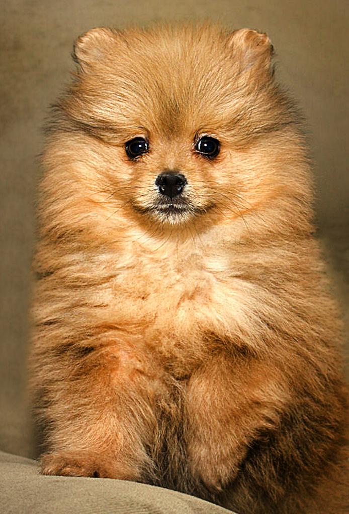 Pomeranian, german spitz mittel