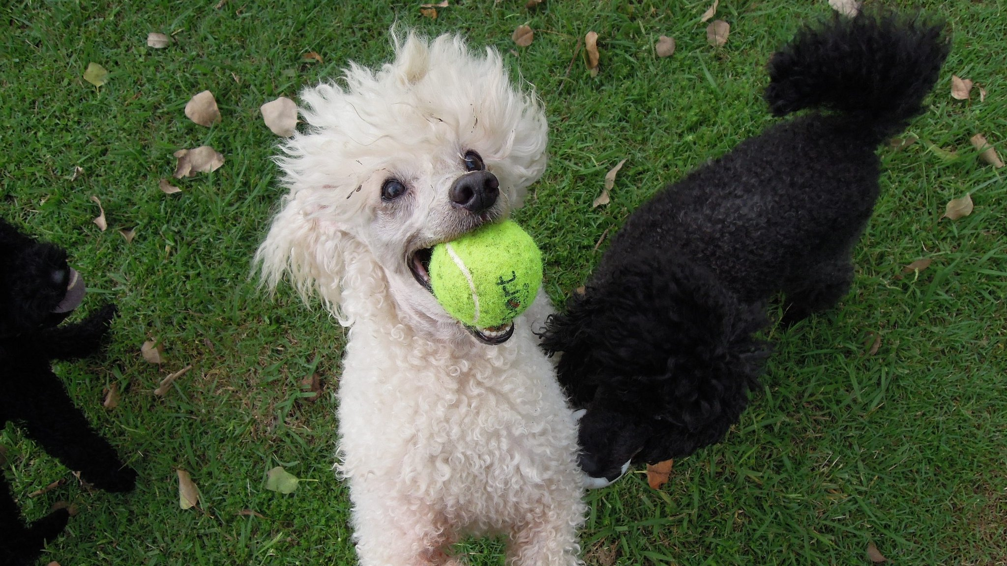 5 Things to Know About Poodles - Petful
