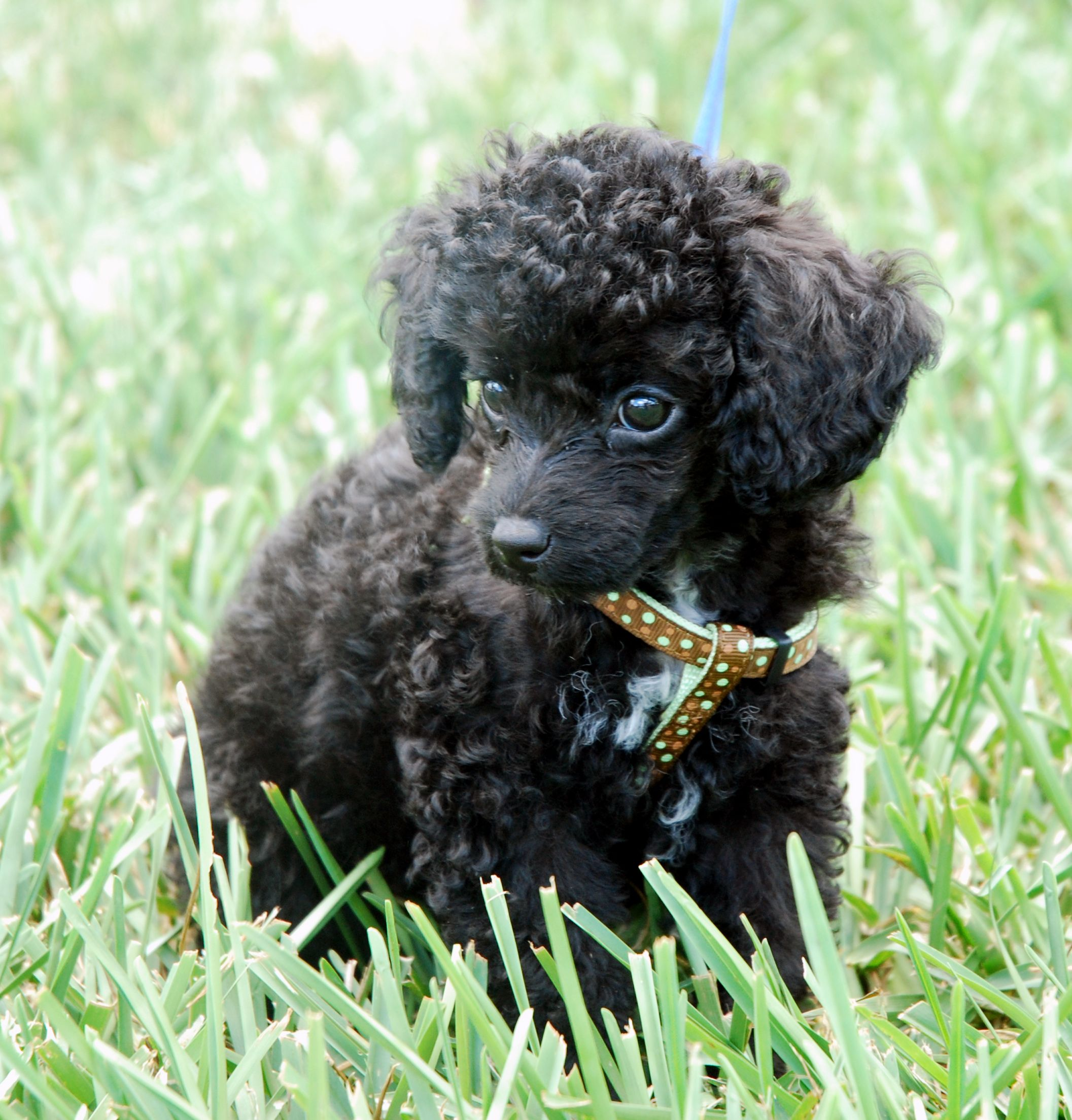 photographs of miniture poodles   Directory of Dogs : Dog Dictionary ...
