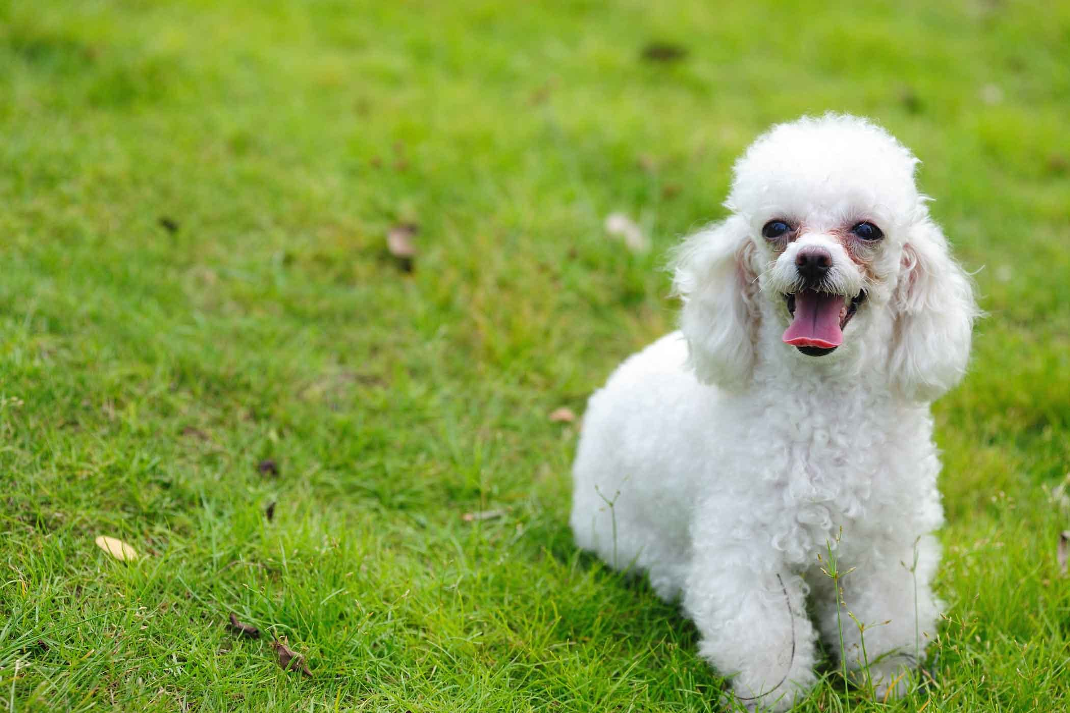 Toy Poodle Dog Names - Wag!