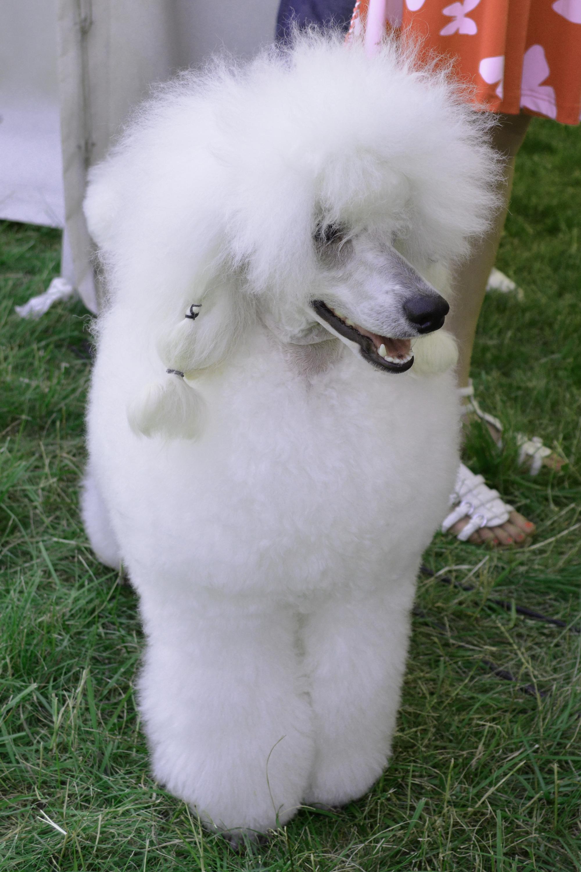 Poodle, Animal, Pedigreed, Purebred, Puppy, HQ Photo