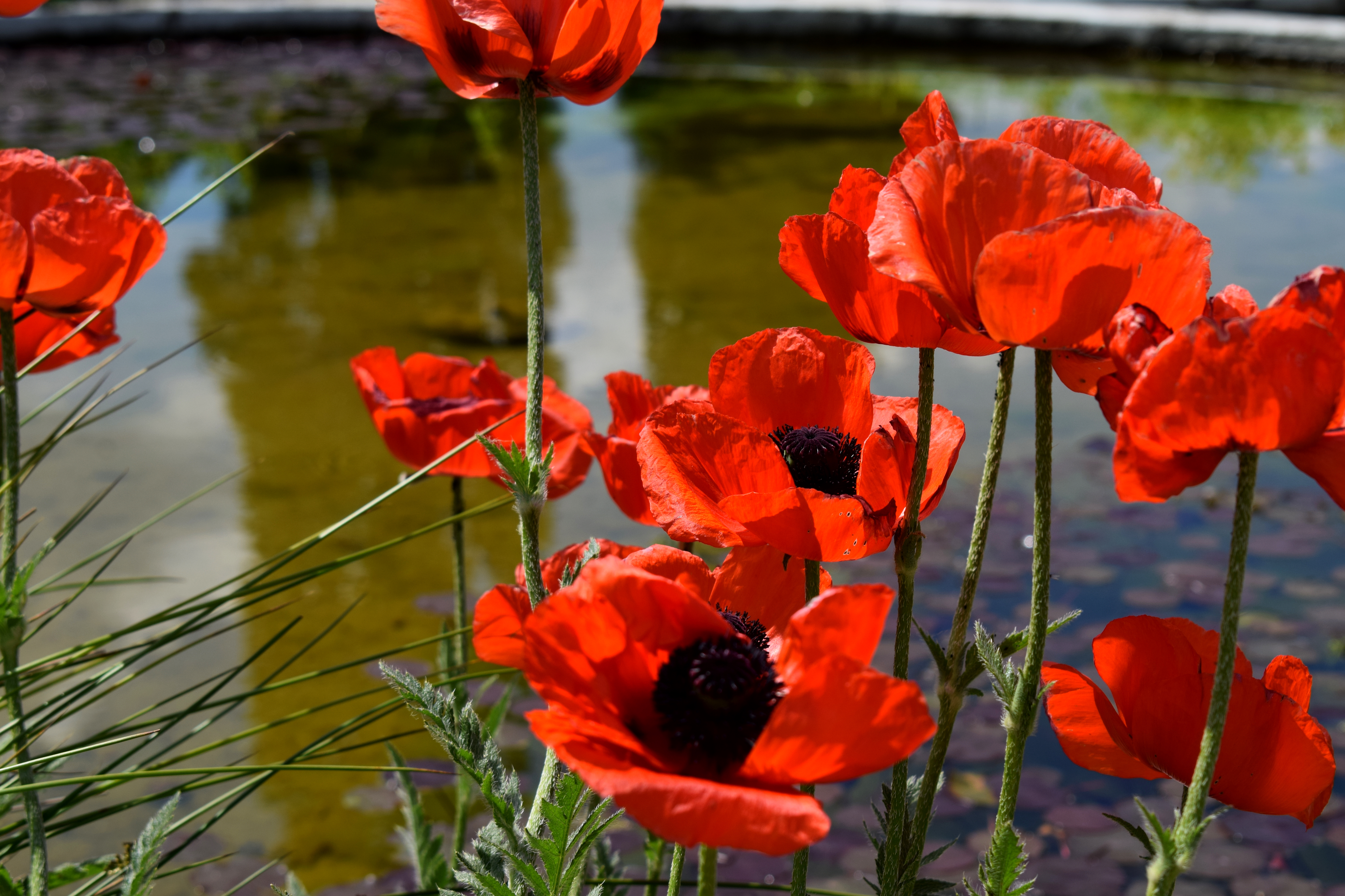 Poppies at the water, Beauty, Berlin, Botanic, Butterfly, HQ Photo