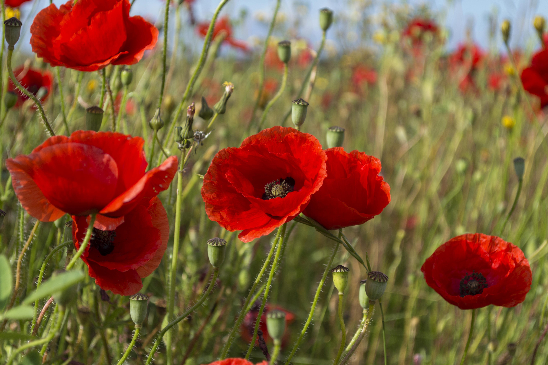 Free photo poppy flowers nature plant poppy free download poppy flowers mightylinksfo