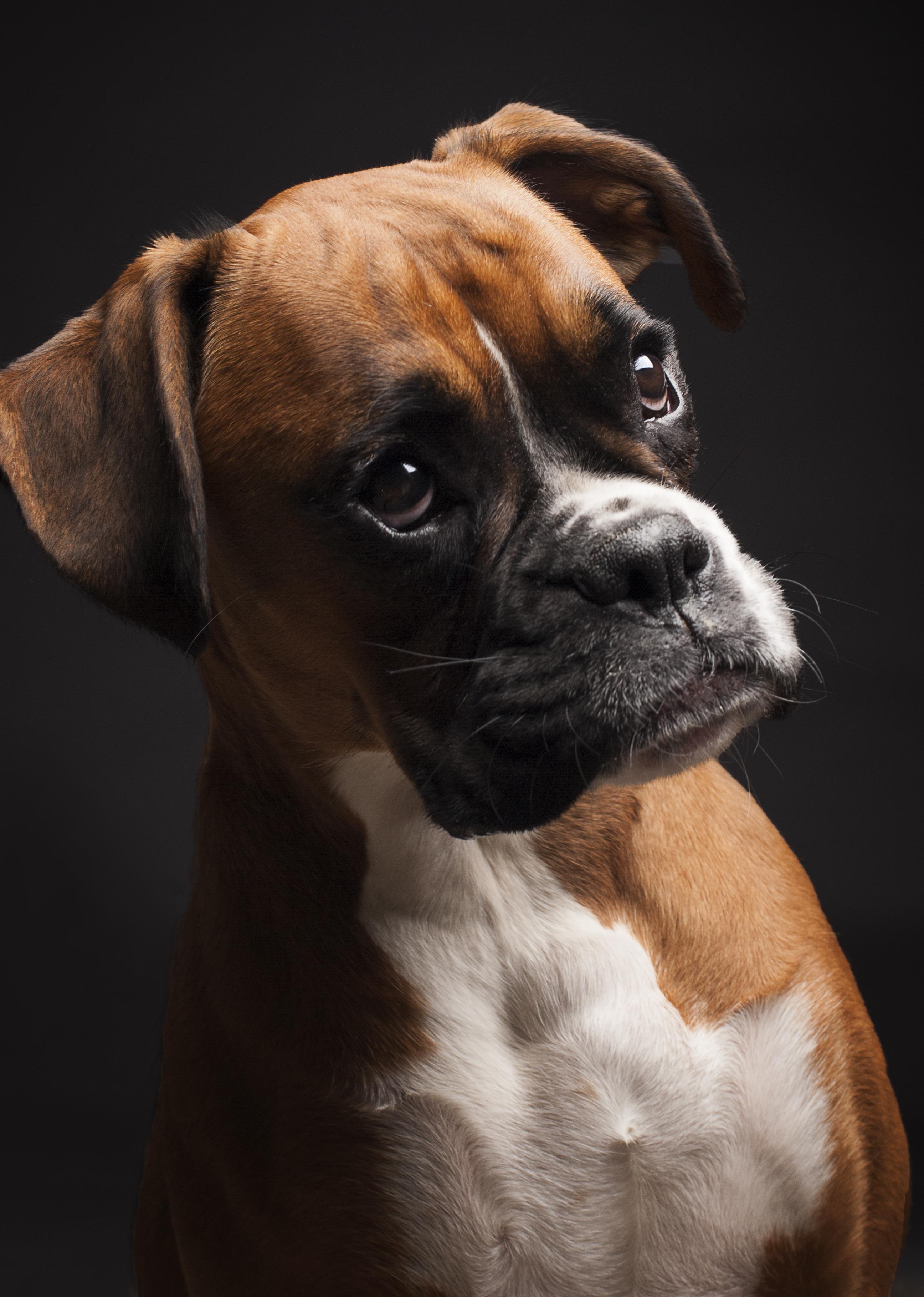 Portrait boxer dog photo