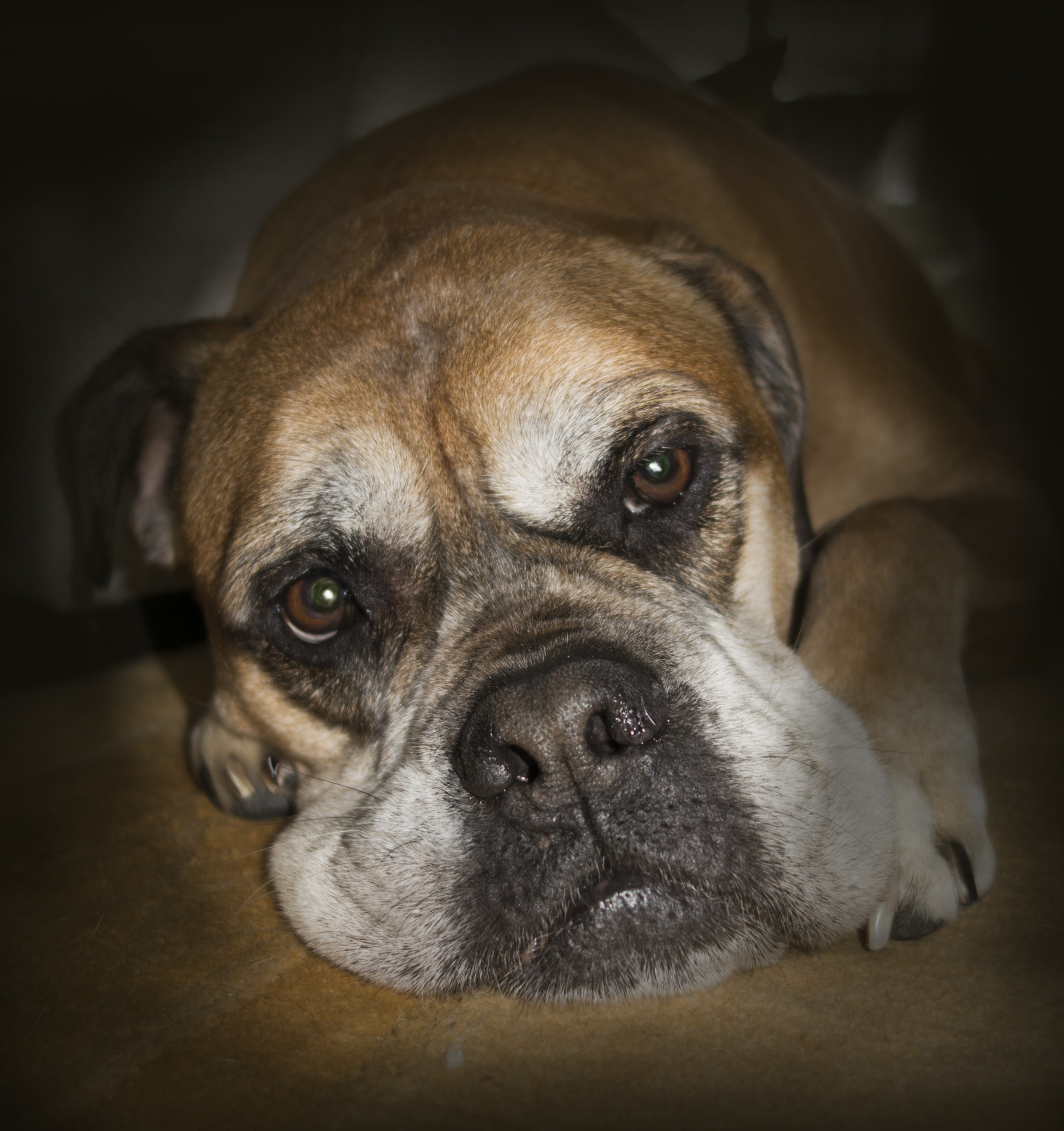 Free Images : puppy, cute, pet, portrait, boxer, close up, eyes ...