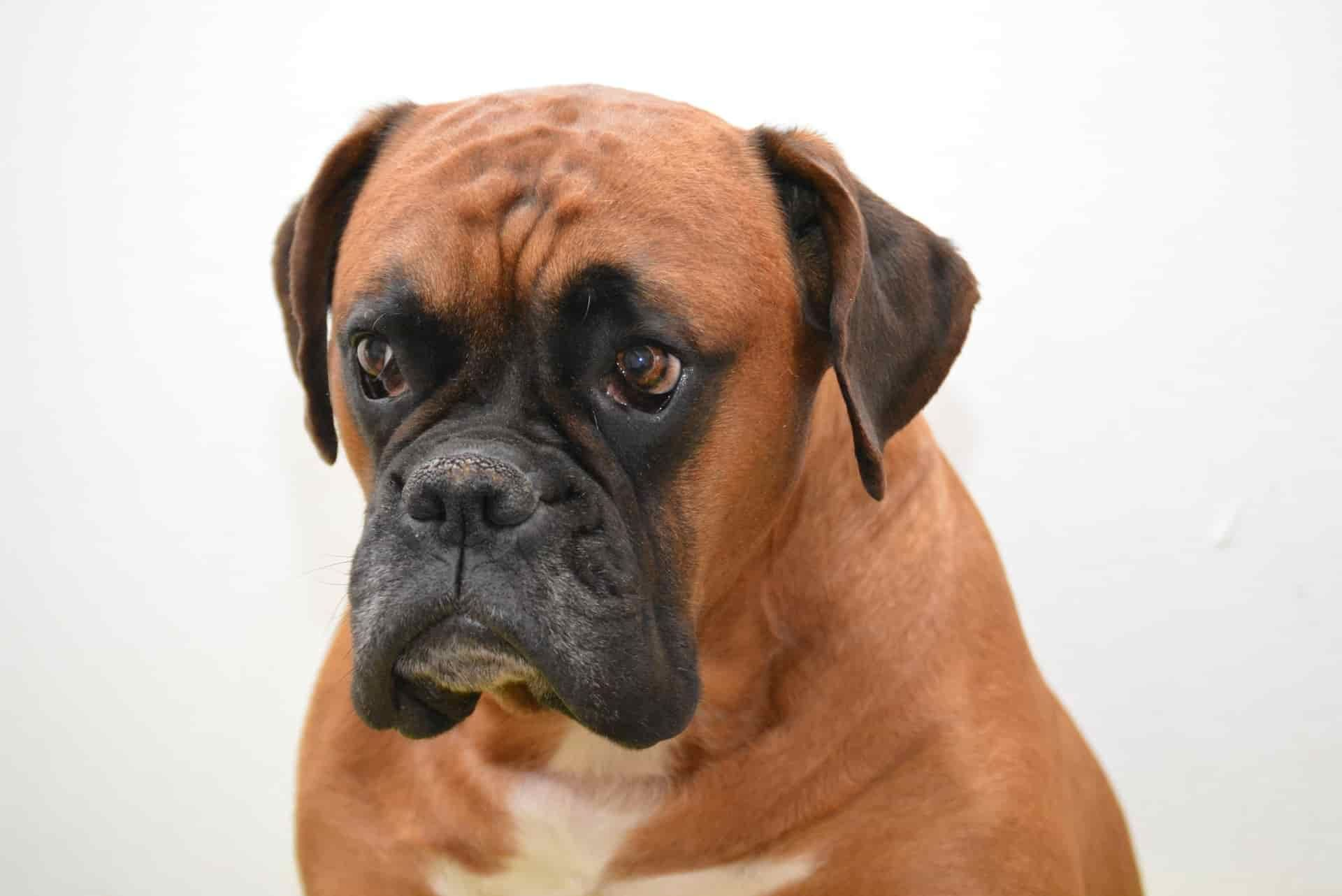Boxer dog Animal Portrait | Dog and Animal