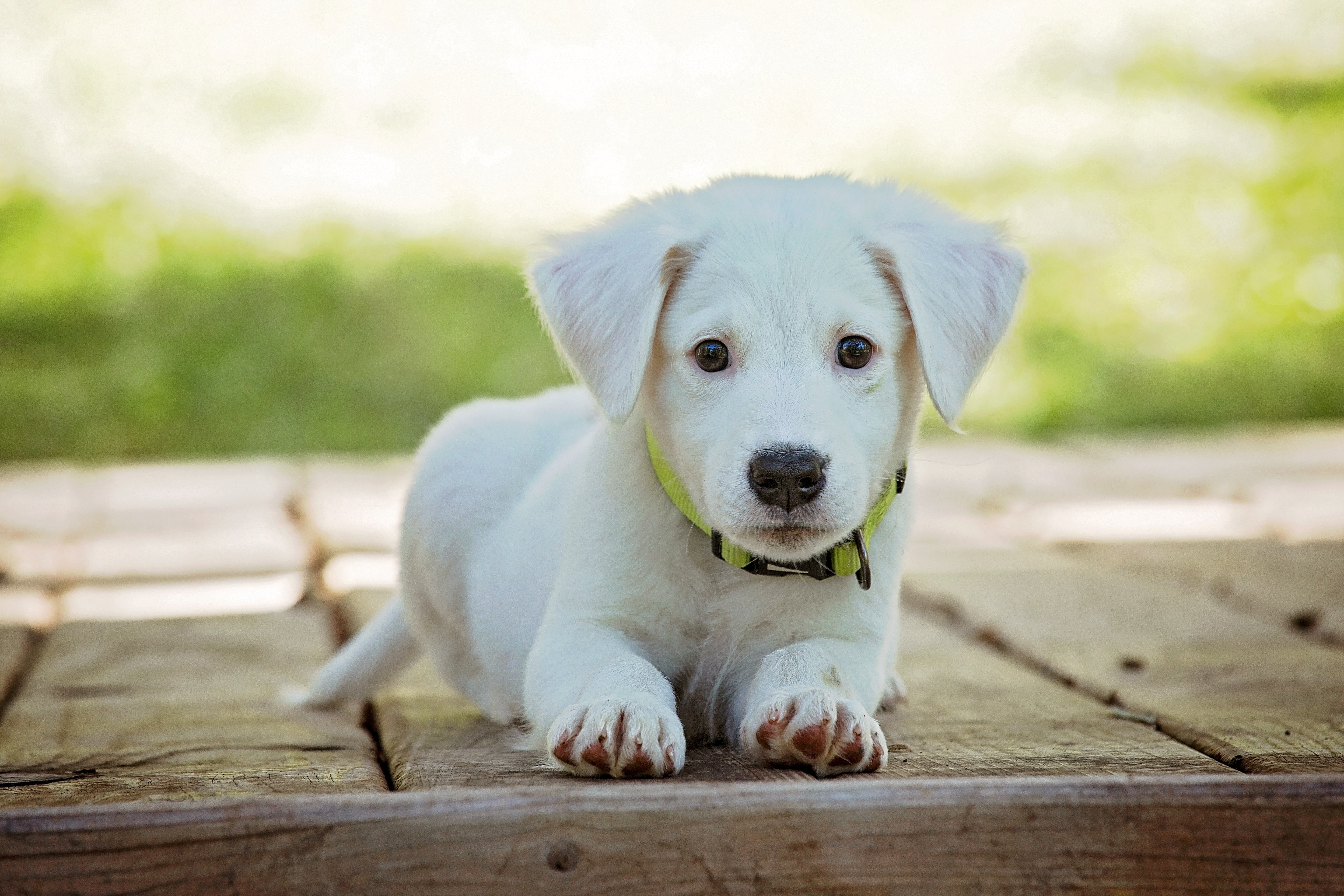 Portrait of a Dog, Pedigree, Young, White, Sit, HQ Photo