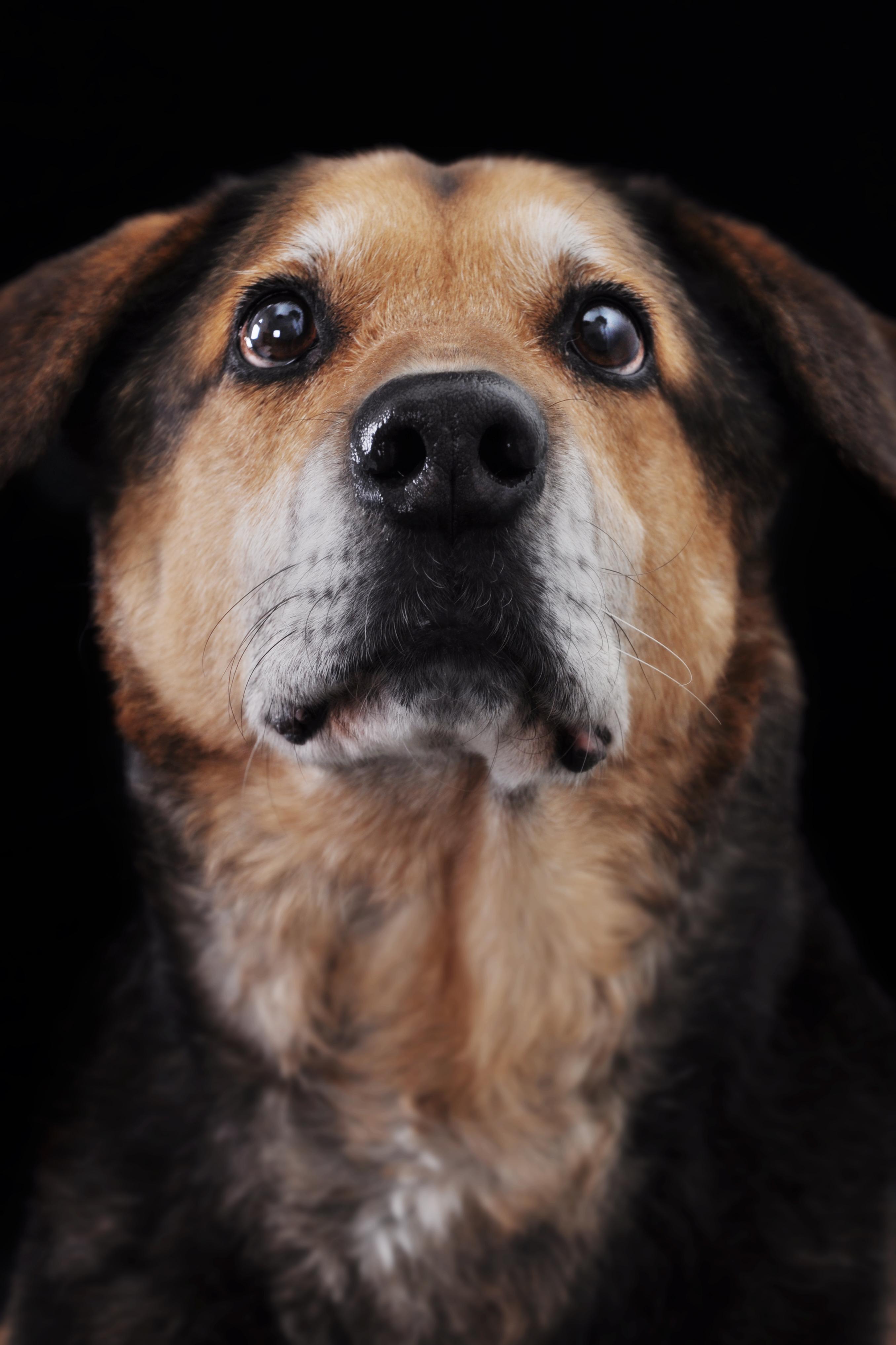 Portrait of a Dog, Animal, Blackbackground, Closeup, Cute, HQ Photo