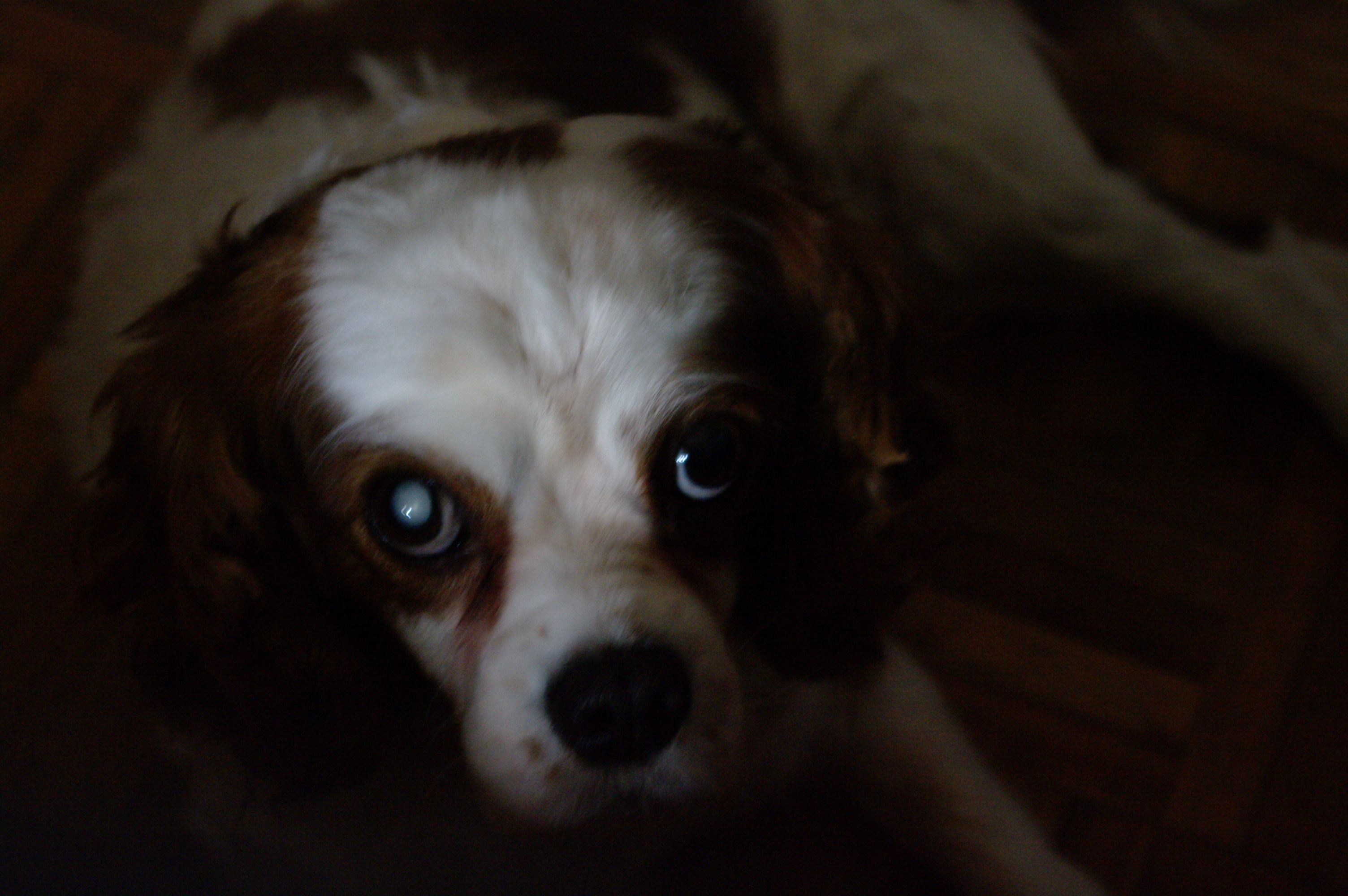 Portrait of a king charles dog photo