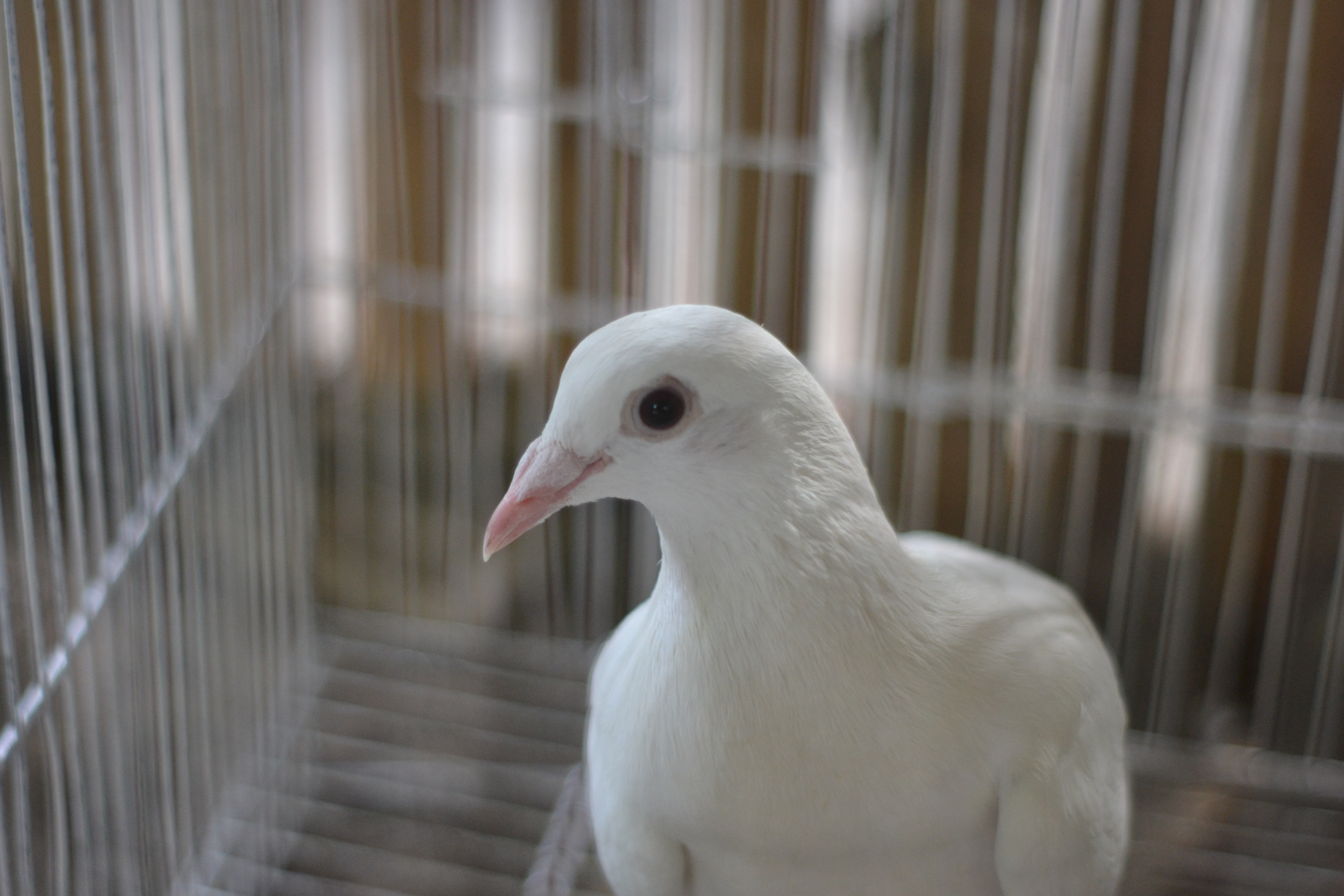 Portrait of White Pigeon, Animal, Pigeon, White, Side view, HQ Photo