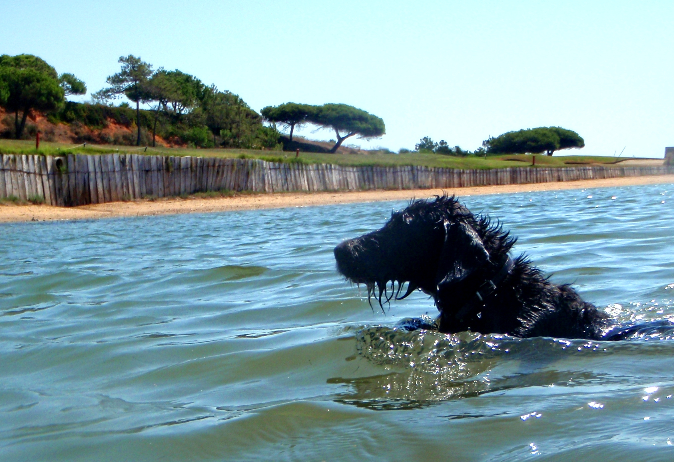 Portuguese water dog swimming vigorously photo