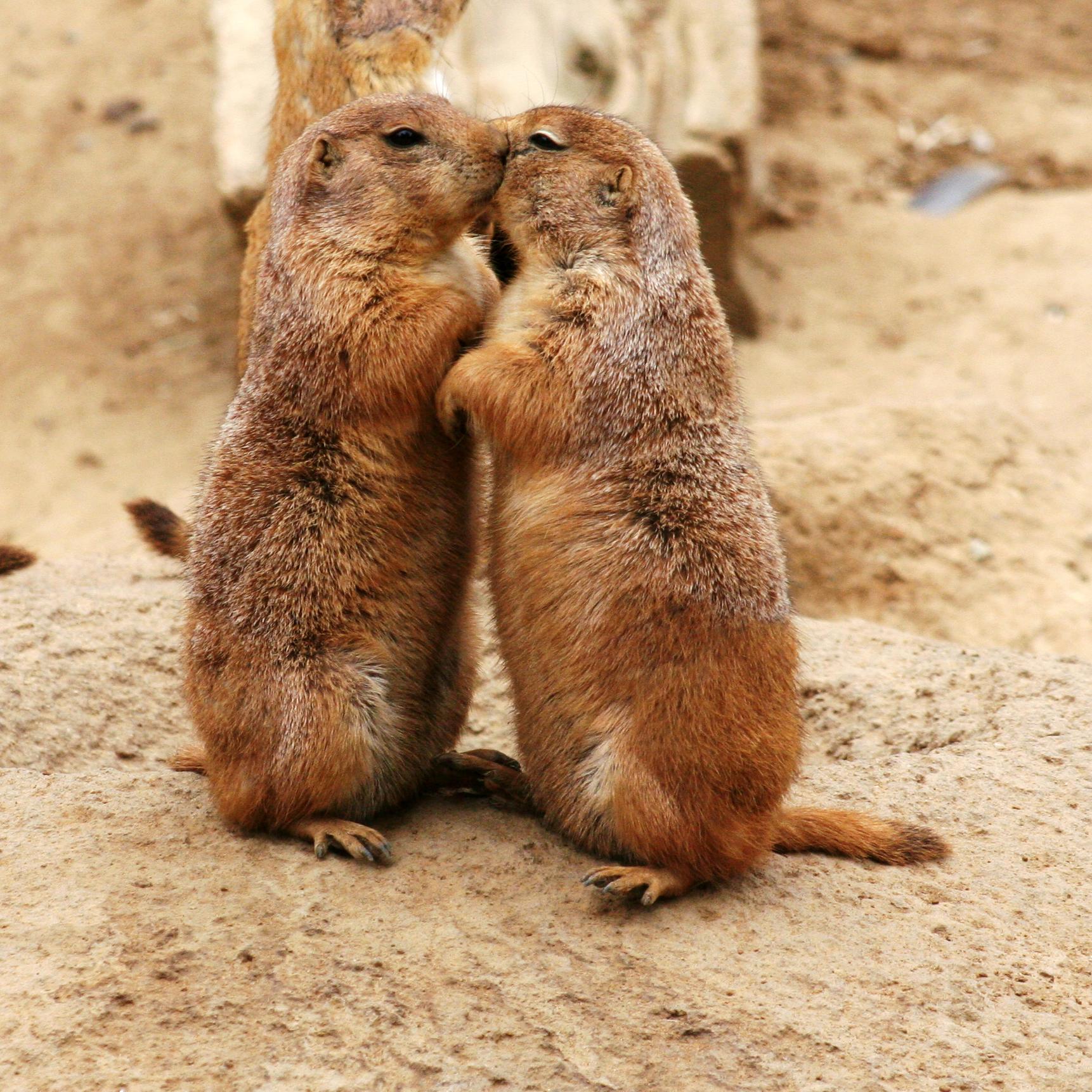 Two prairie dogs photo