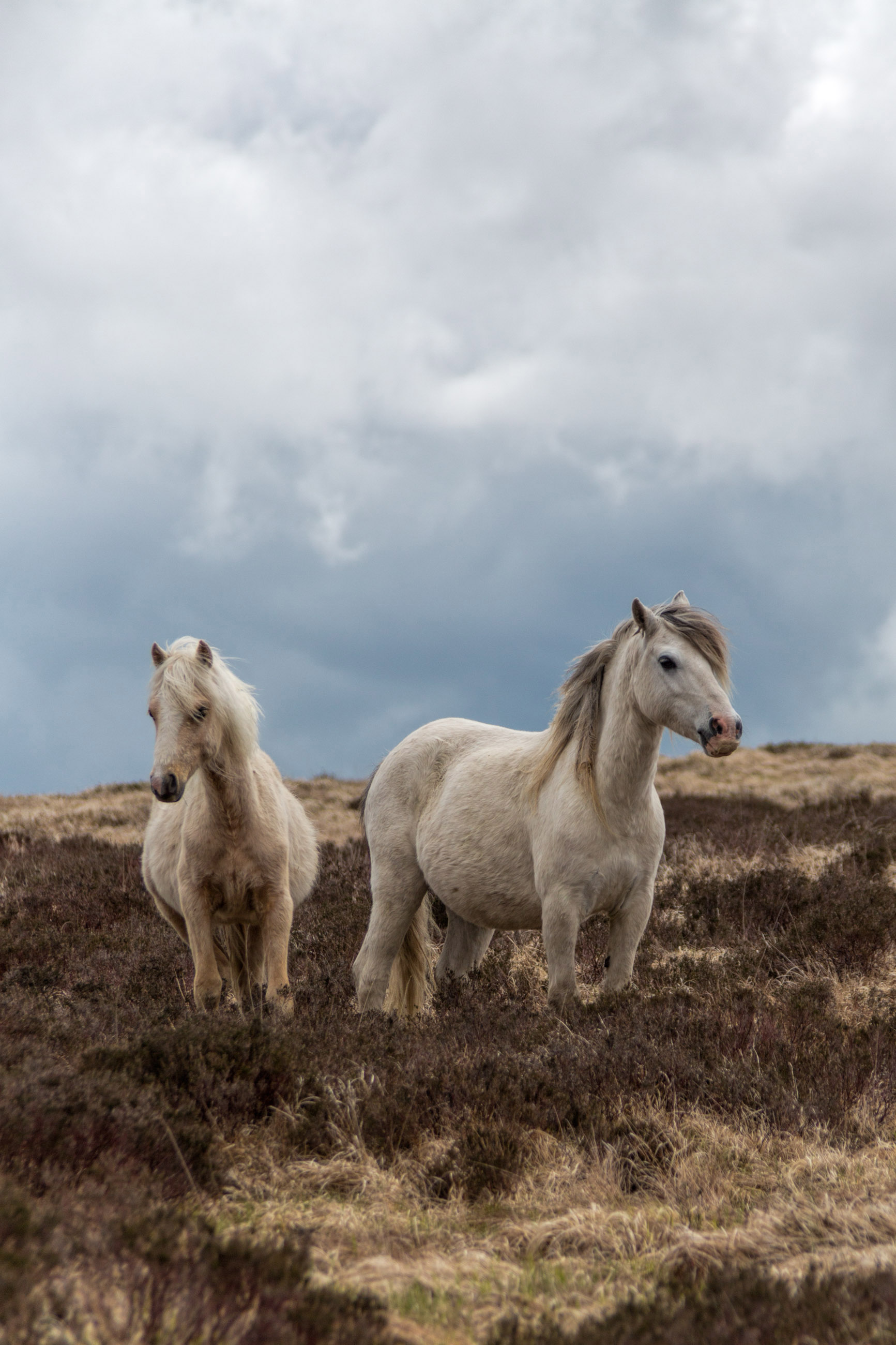 Pregnant welsh wild mountain ponies photo