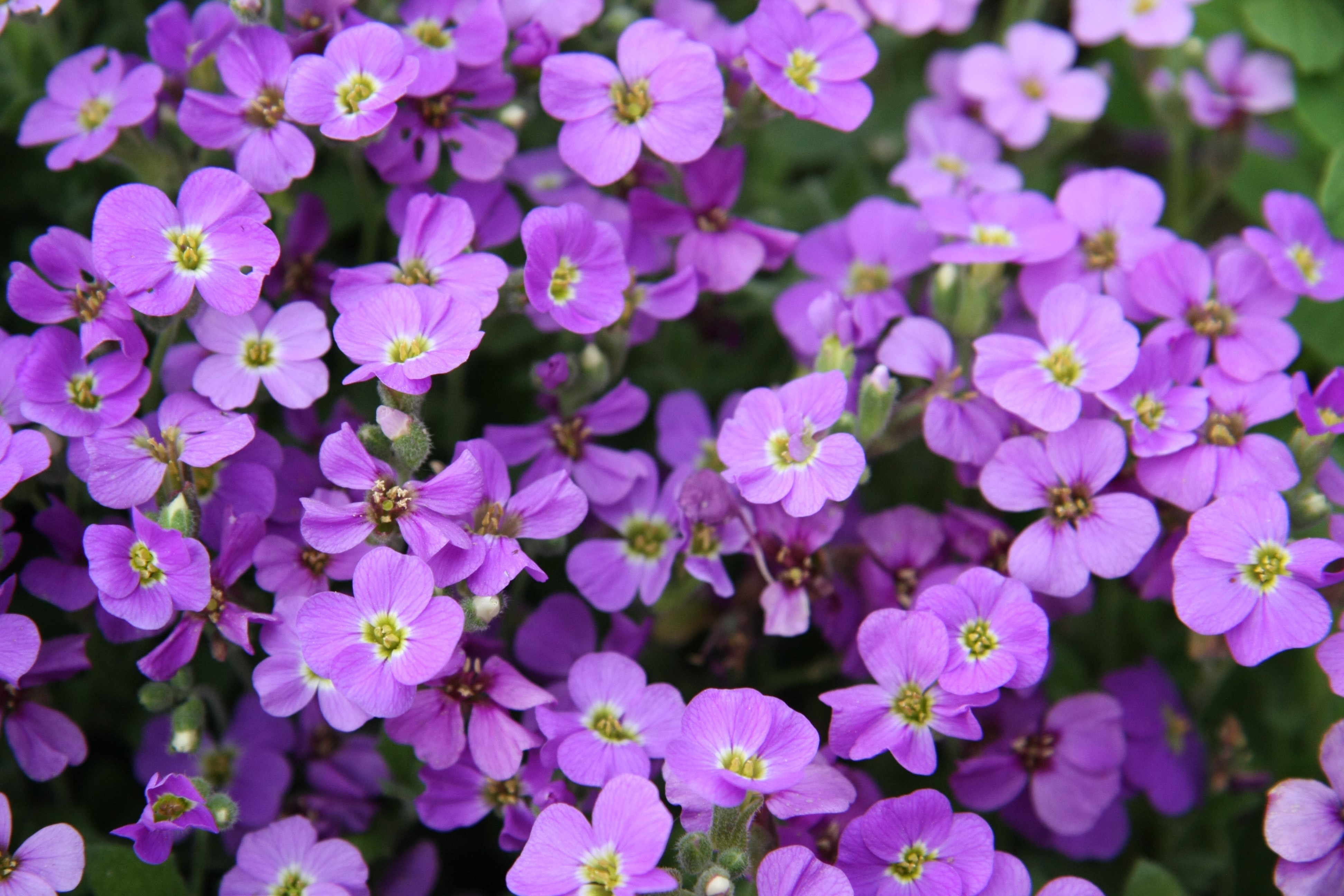 Free photo pretty purple flower plant park pretty free pretty purple flower mightylinksfo
