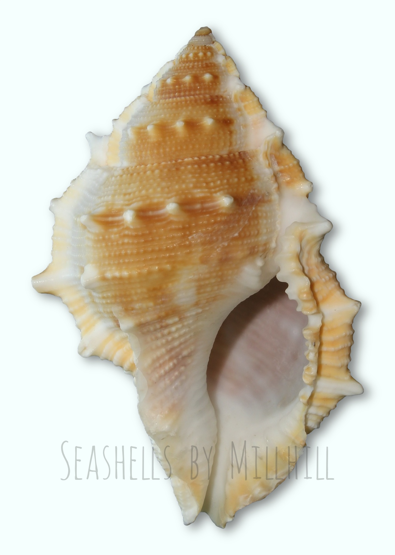 A Pretty Little Seashell – Seashells by Millhill