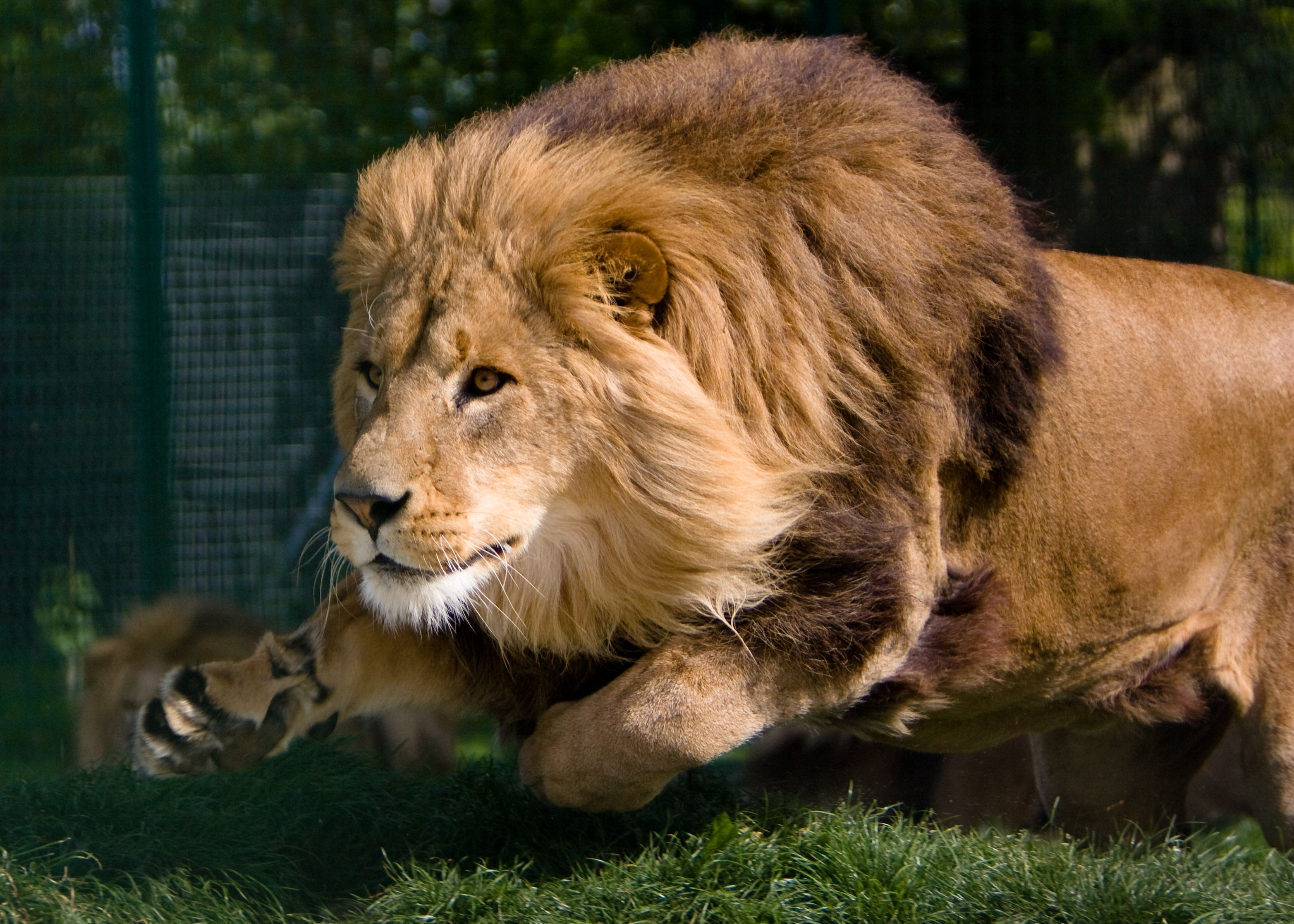 """Pride of Lions 