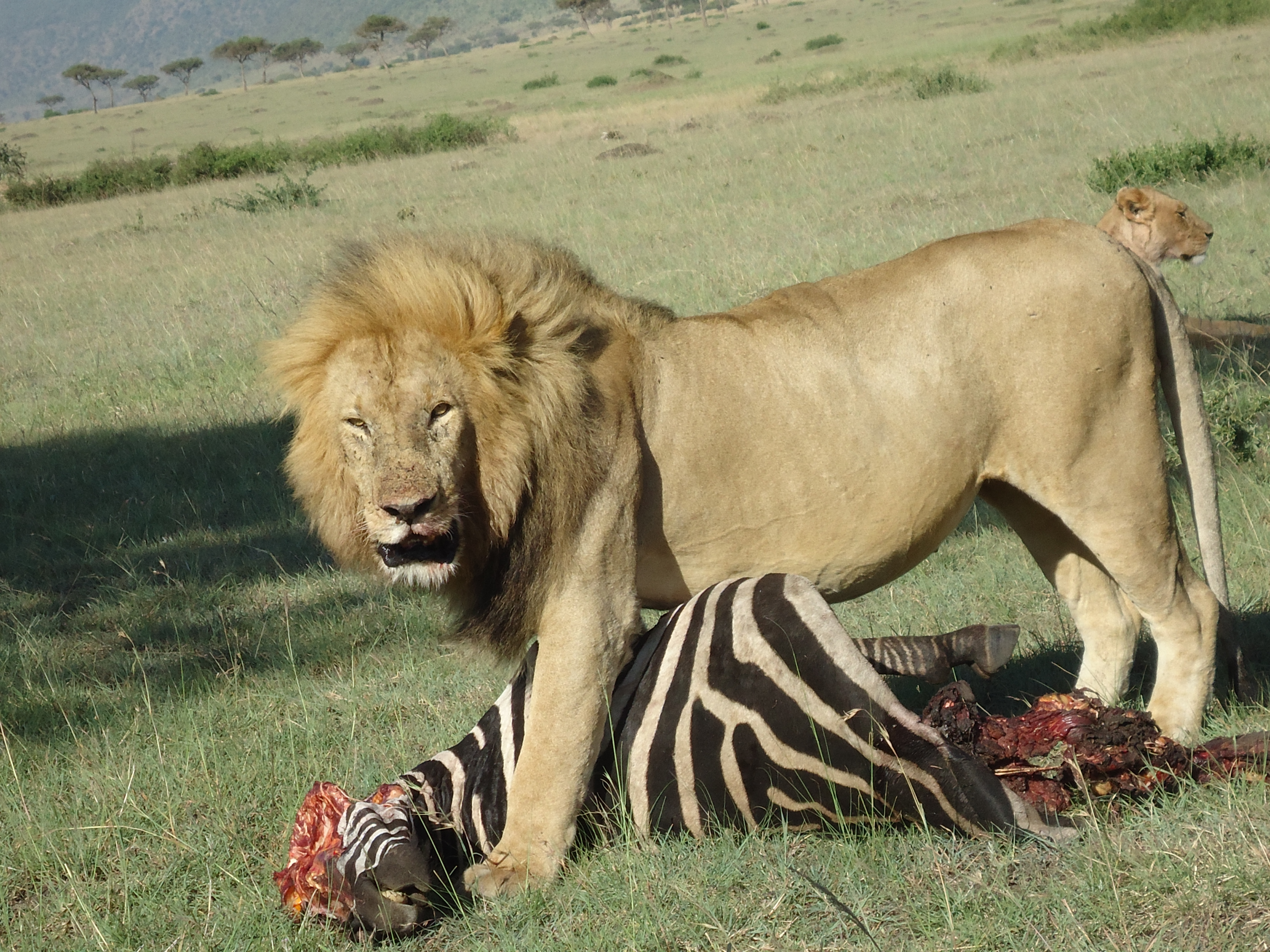 The Pride of the country,The Out Of Africa Pride. | rangersdiary
