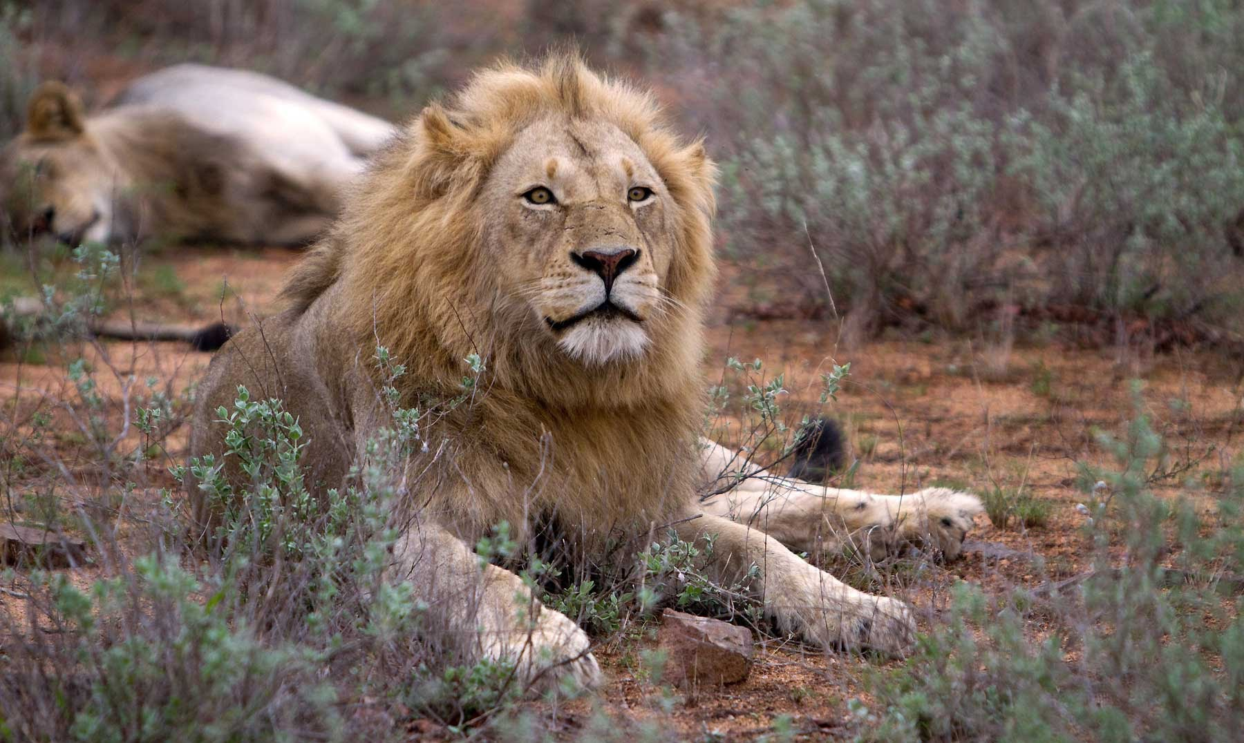 York Pride of Lions - YouTube