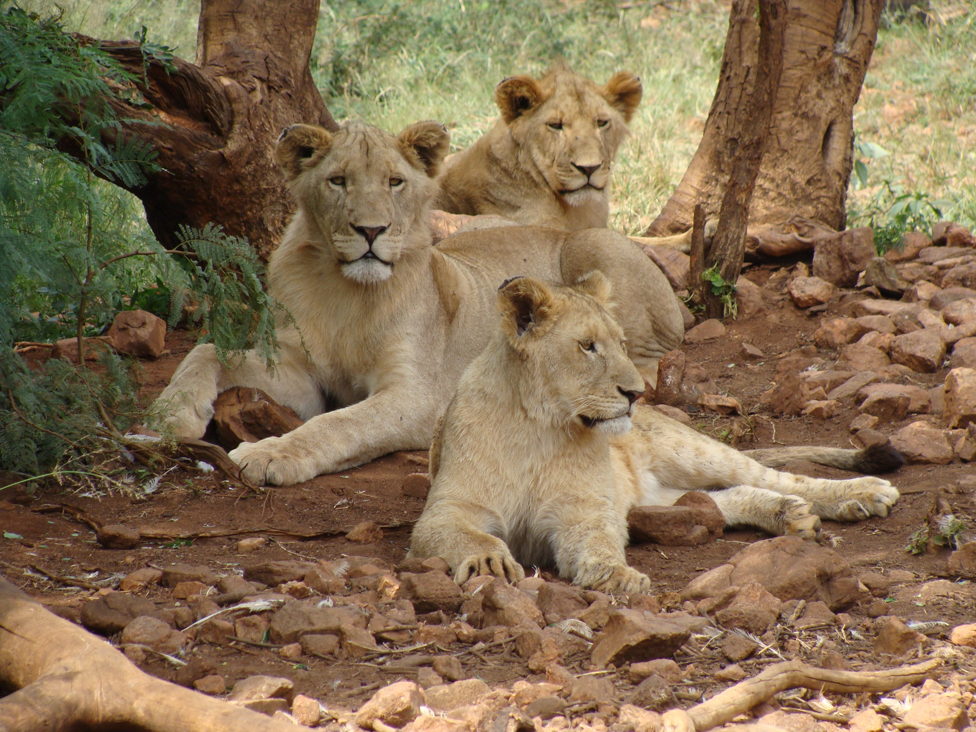 Pride of lions photo