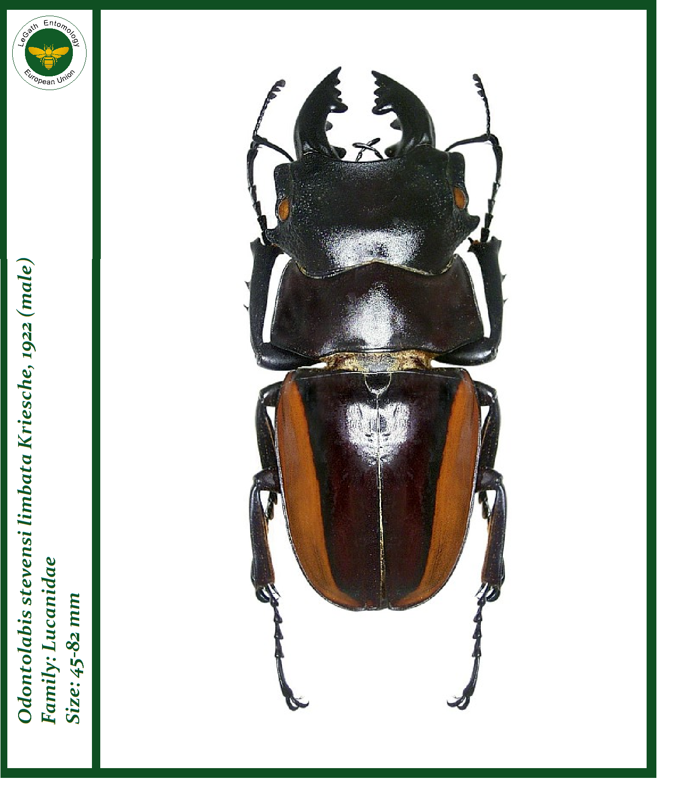 Prosopocoilus zebra beetle photo