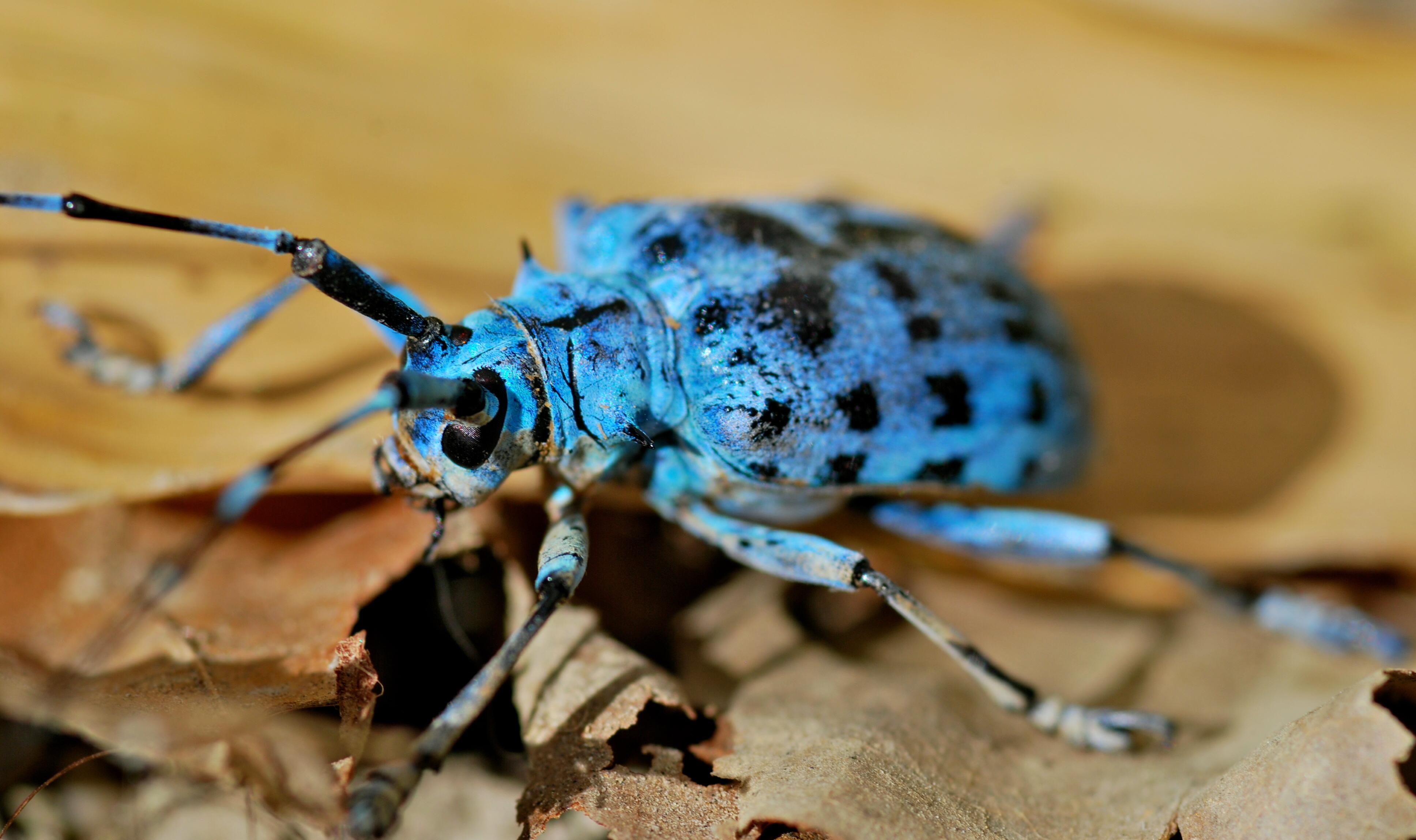 File:Longhorn Beetle (Pseudomyagrus waterhousei) (8803906346).jpg ...