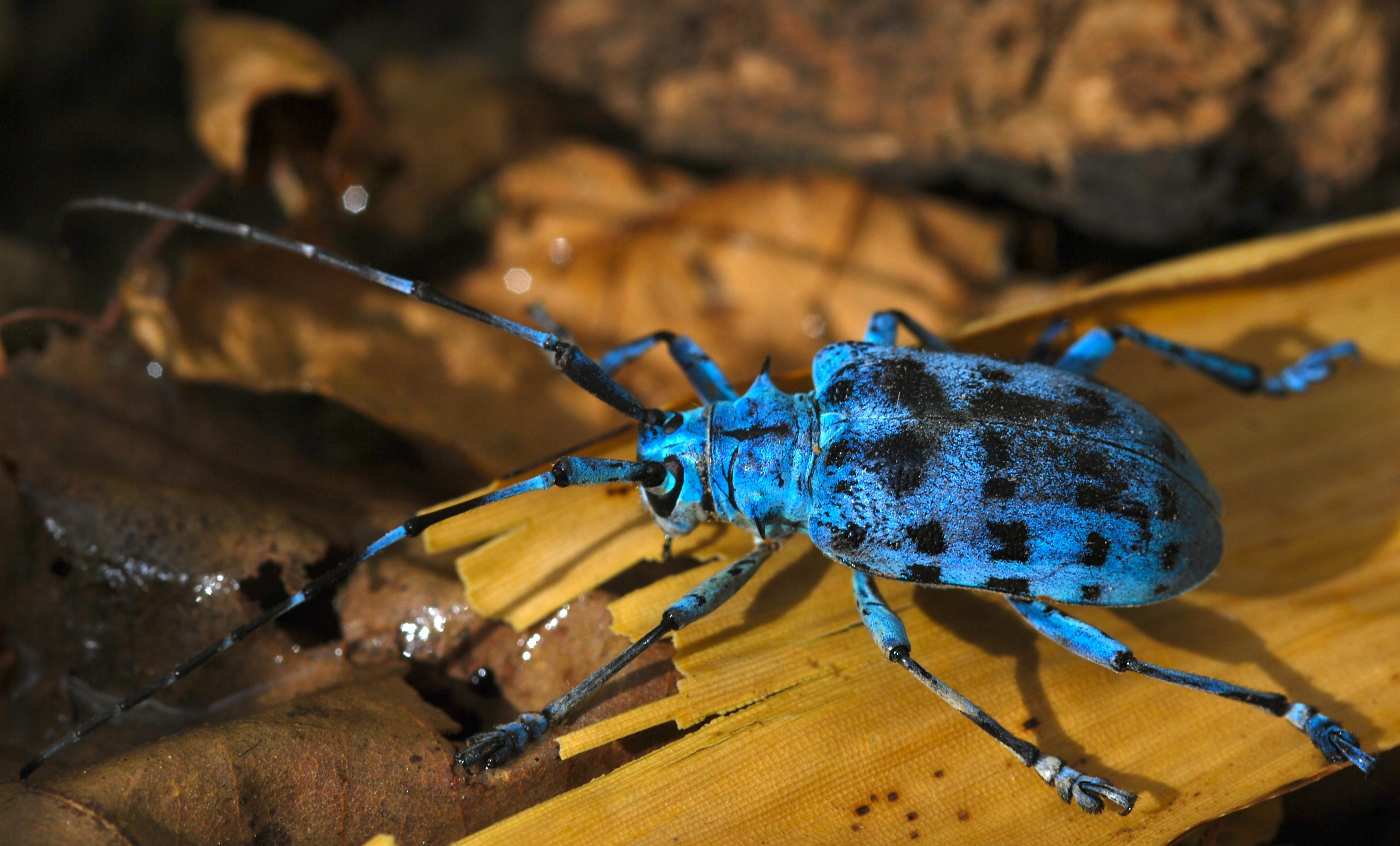 File:Longhorn Beetle (Pseudomyagrus waterhousei) (8803917394).jpg ...