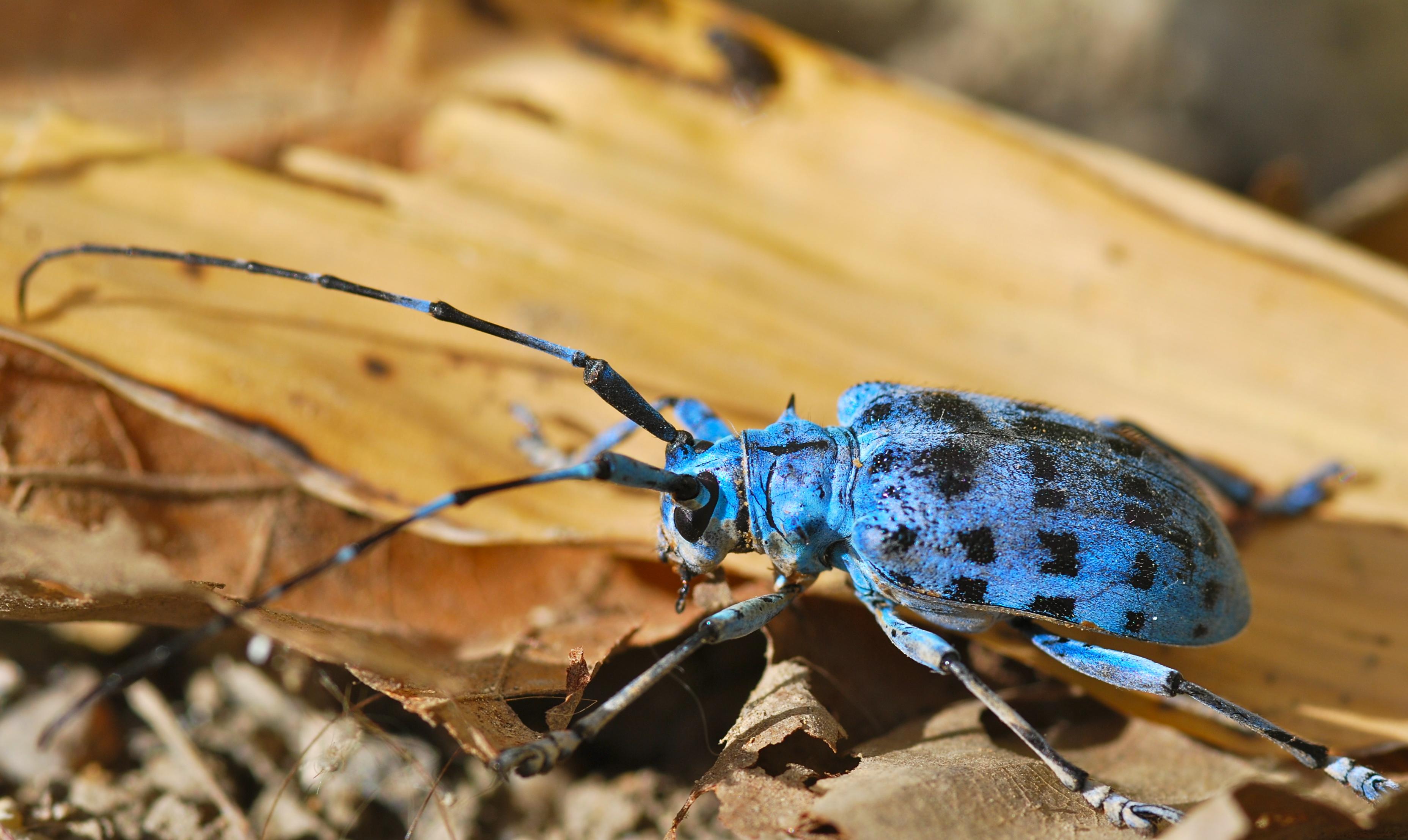 File:Longhorn Beetle (Pseudomyagrus waterhousei) (8803895612).jpg ...