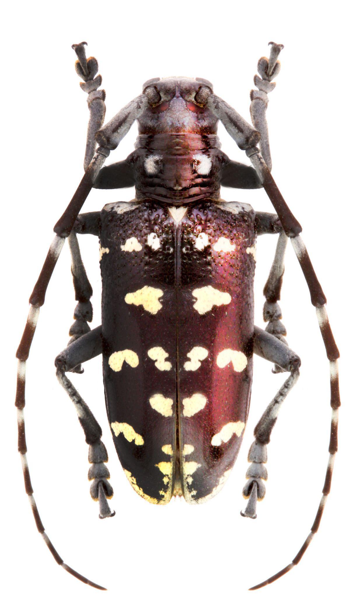Pseudomyagrus waterhousei beetles photo