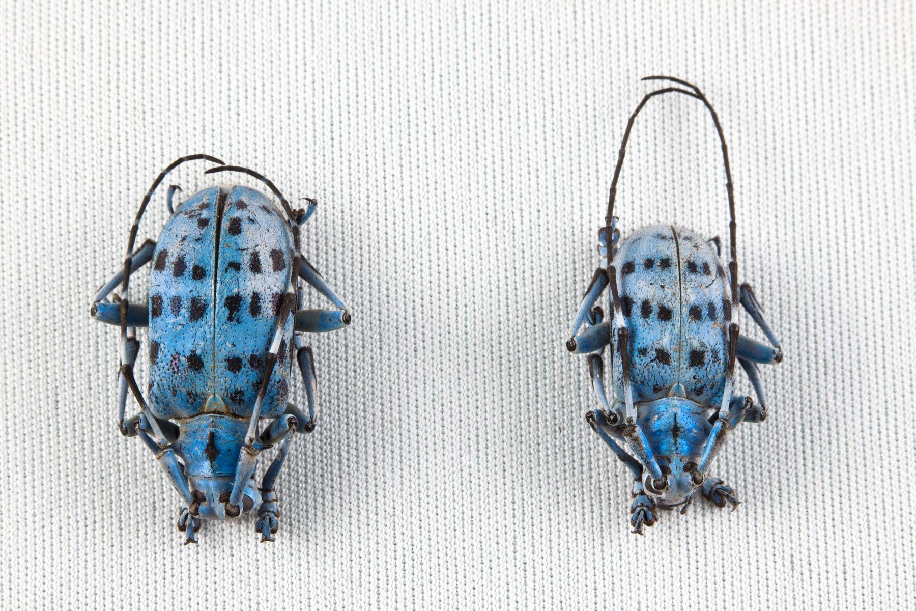 Pseudomyagrus Waterhousei Beetles