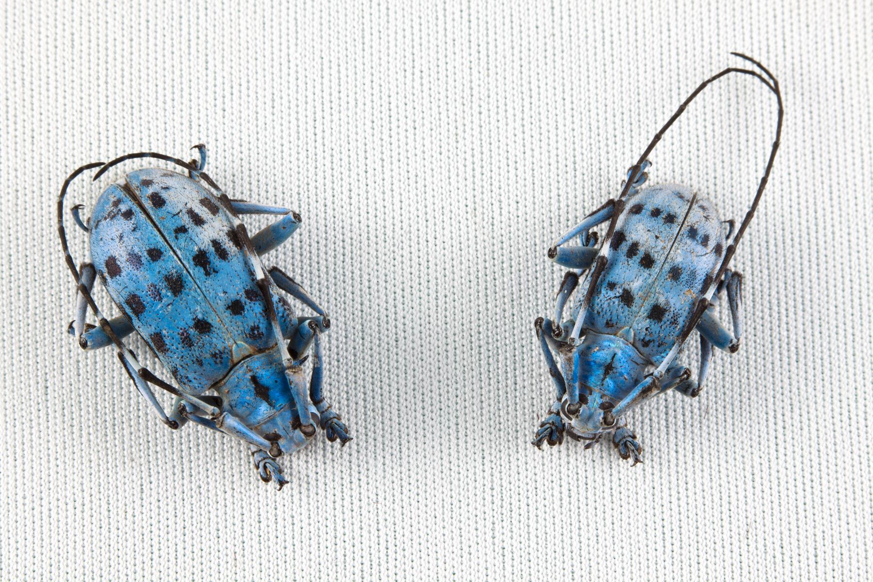 Pseudomyagrus Waterhousei Beetles, Animal, Insects, Isolated, Isolation, HQ Photo