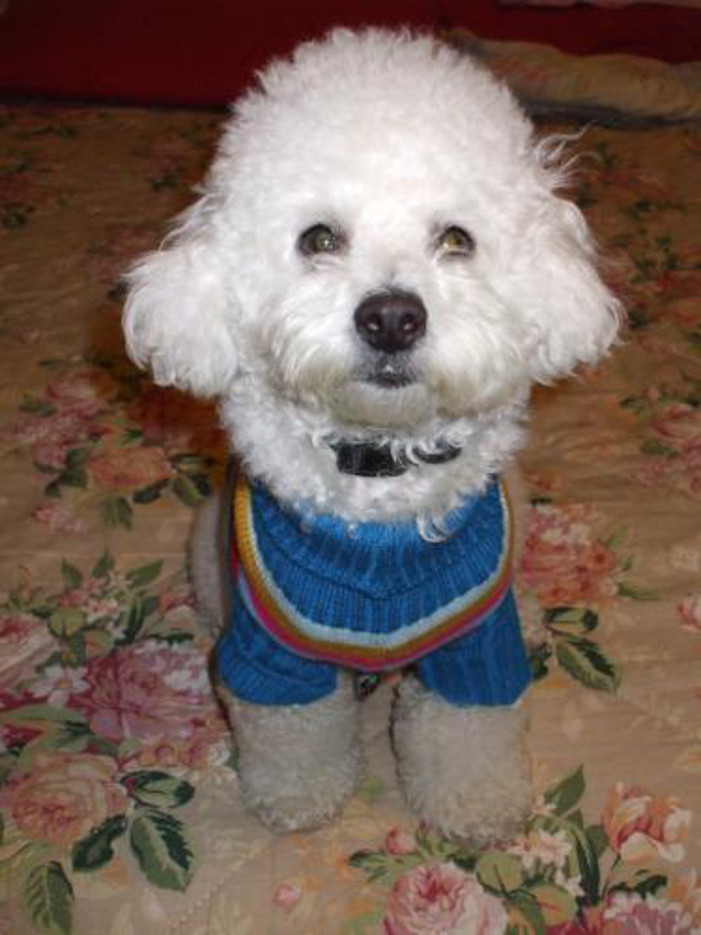 Puddle in sweater, Dog, Pet, Puddle, Sweater, HQ Photo