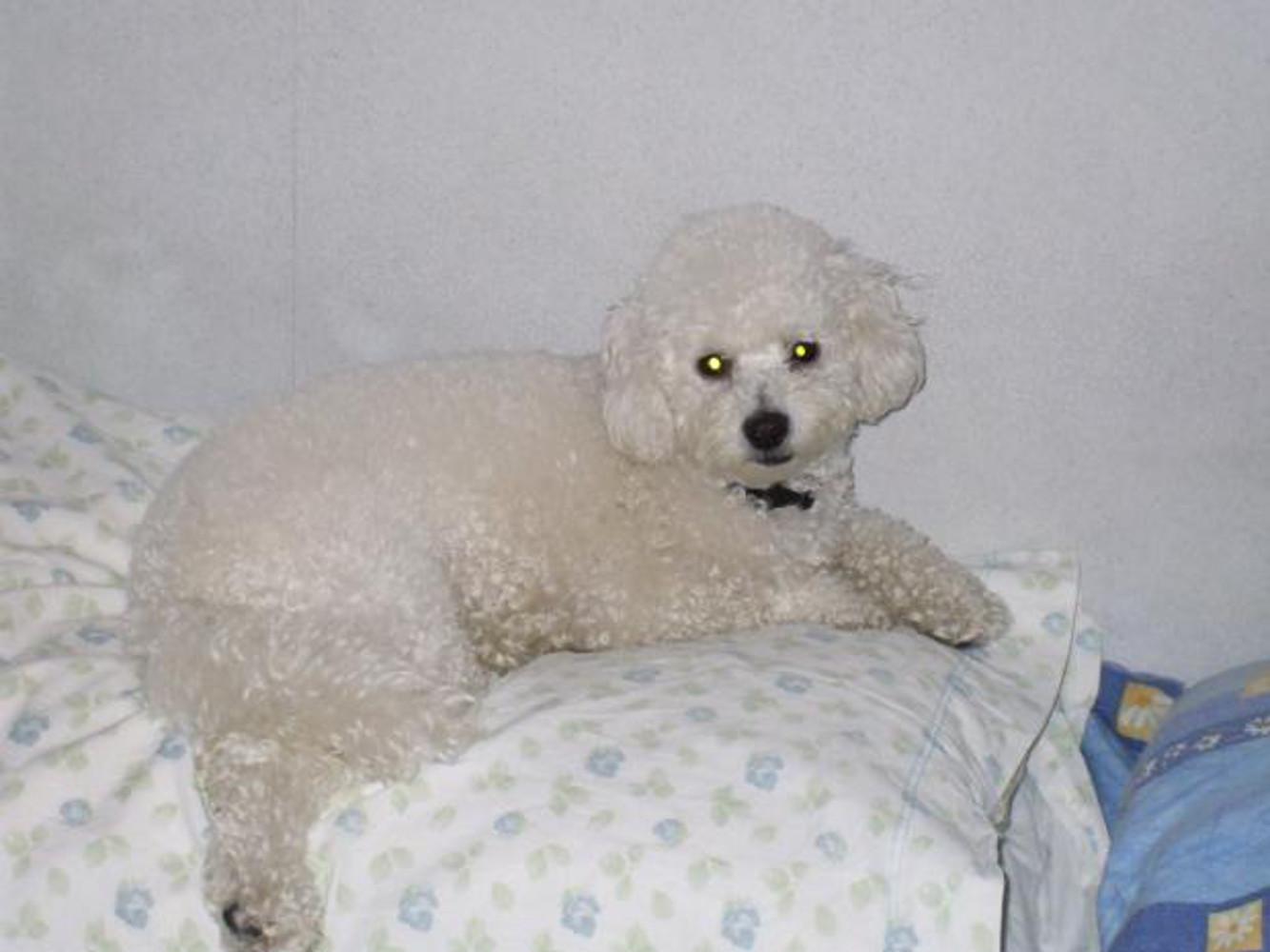 Puddle, Bed, Dog, White, HQ Photo