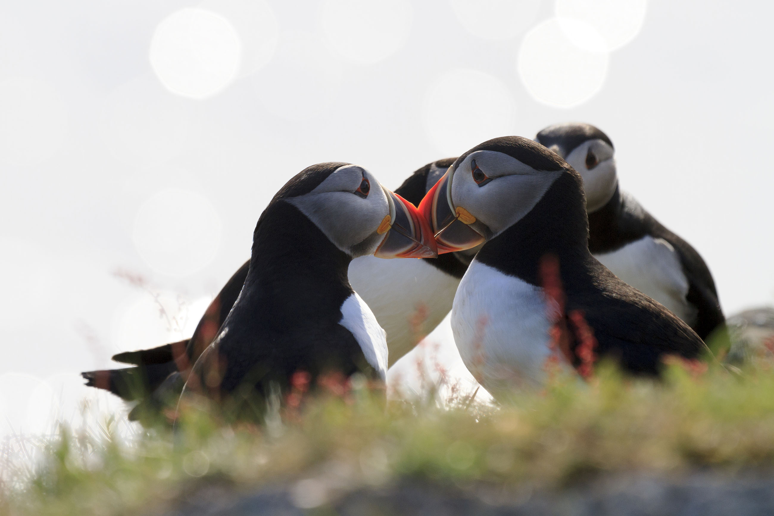 Puffins on sunny day photo