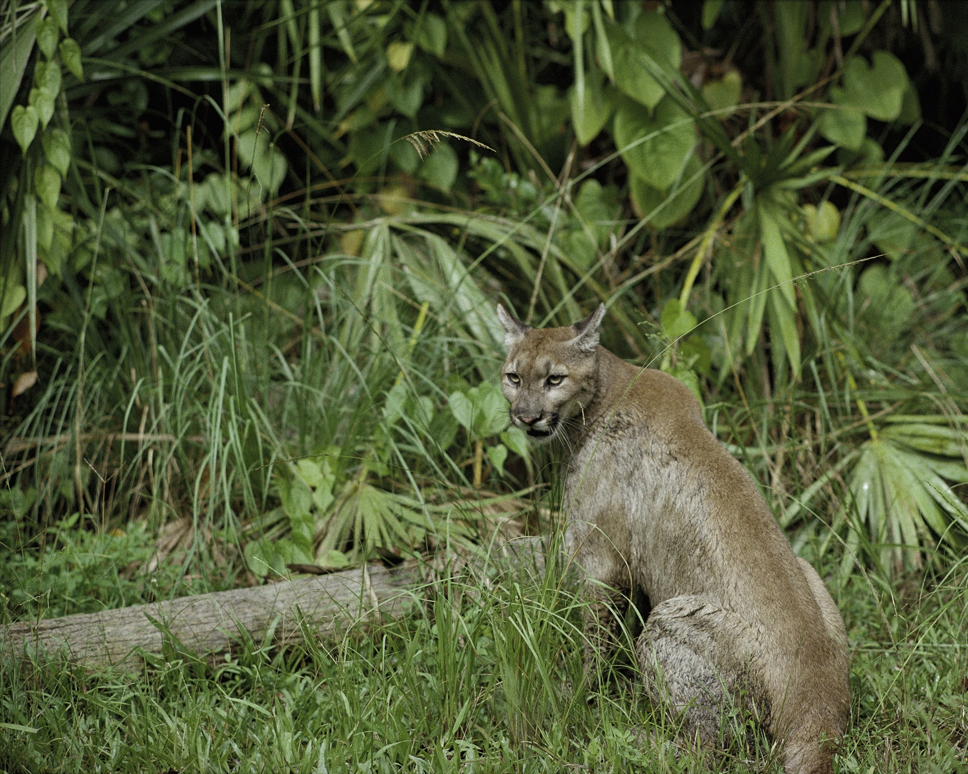 Puma in the Jungle, Animal, Cat, Forest, Jungle, HQ Photo
