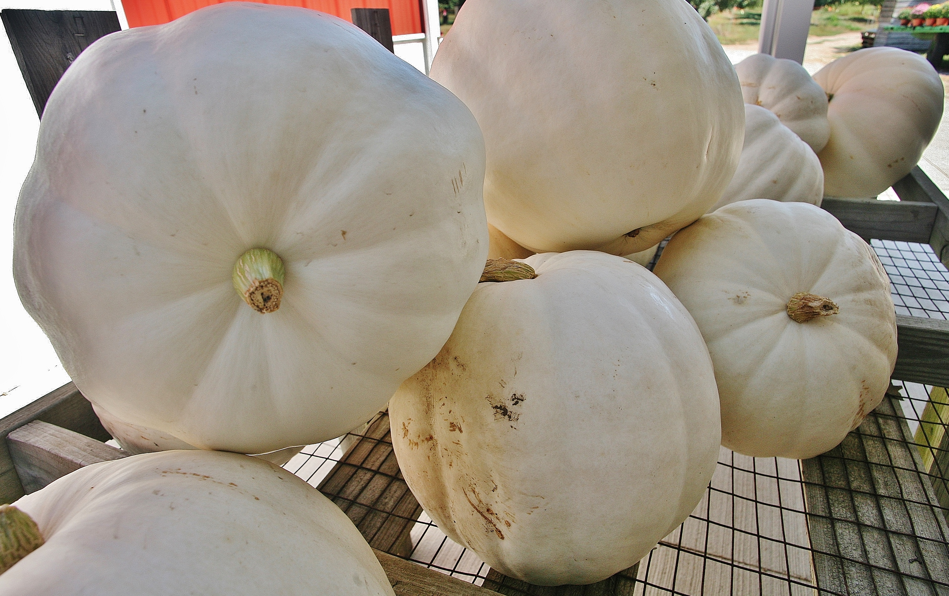 White Pumpkins - Curtis Orchard & Pumpkin Patch - Champaign, IL