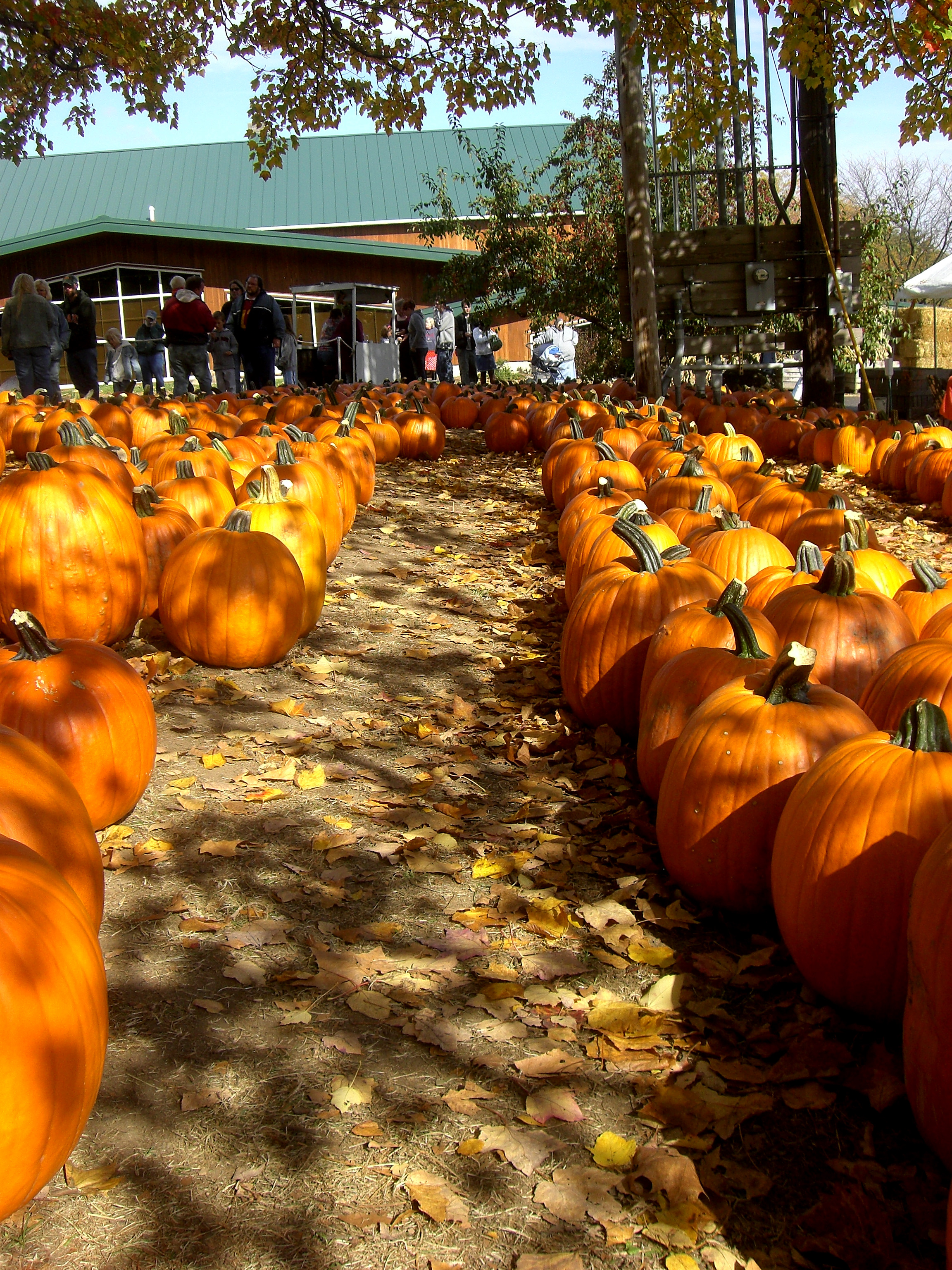 Pumpkin patch row photo