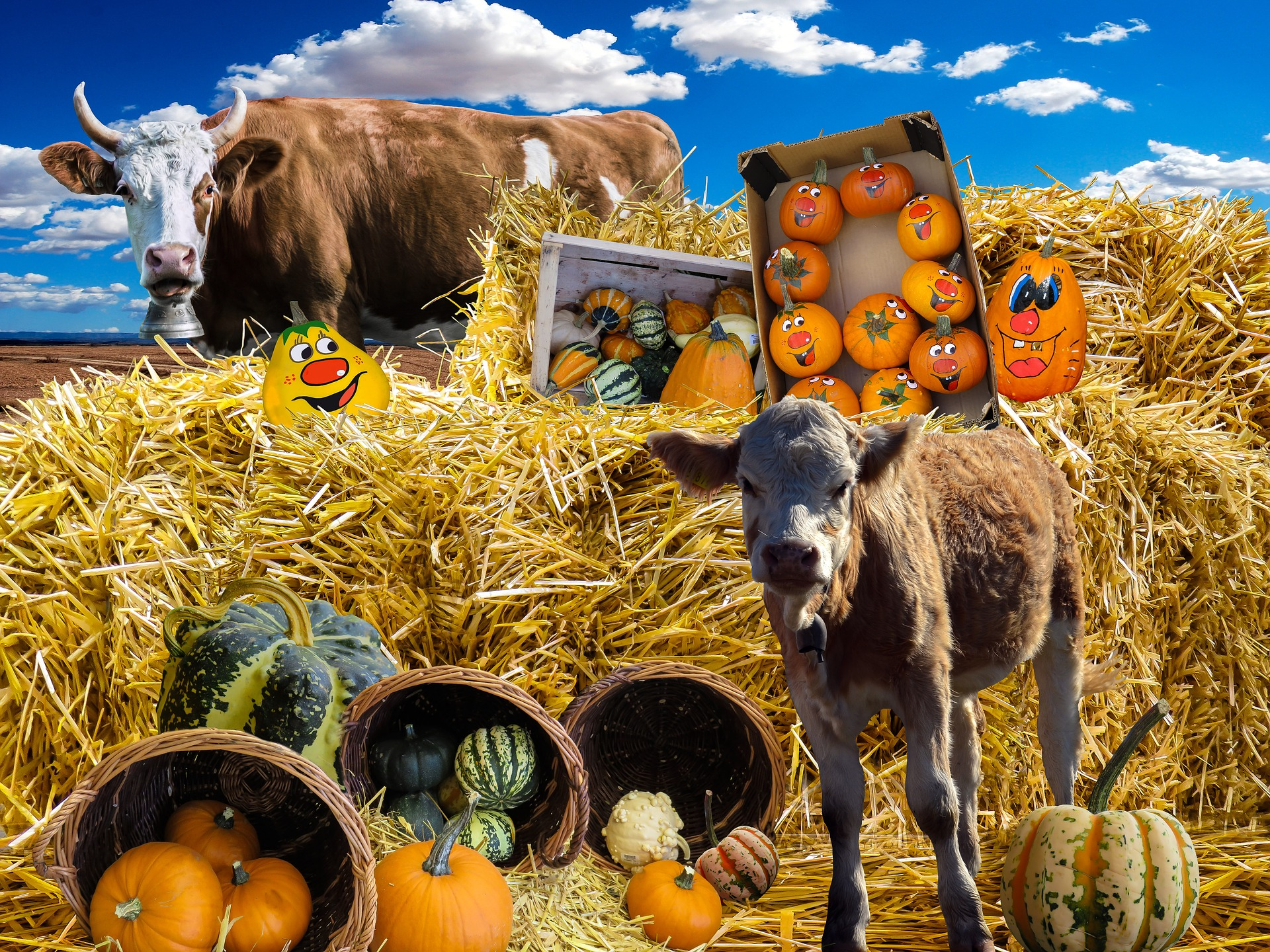 Pumpkin, straw bales and cows photo