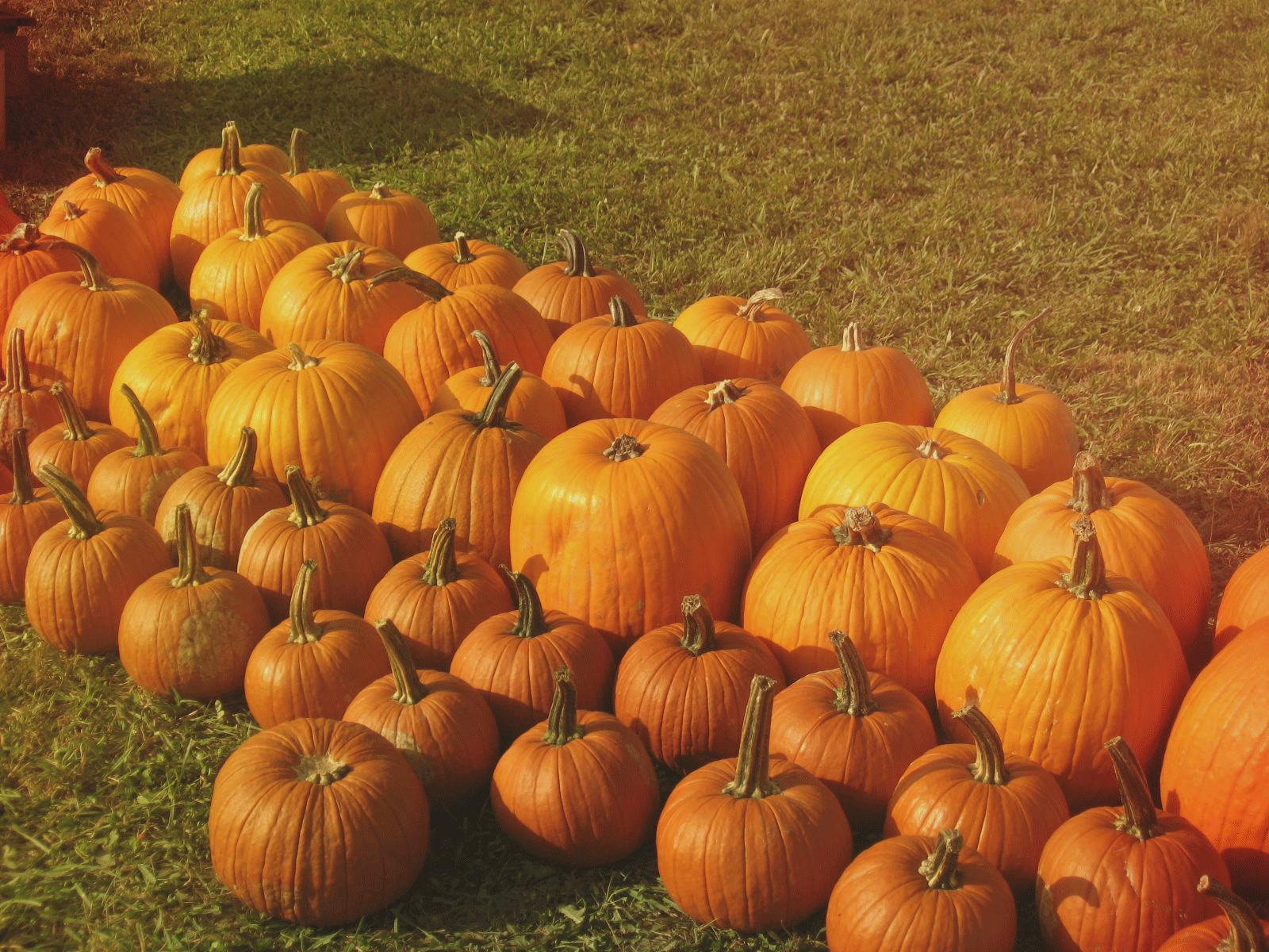 Ashe County Corn Maze and Pumpkin Festival