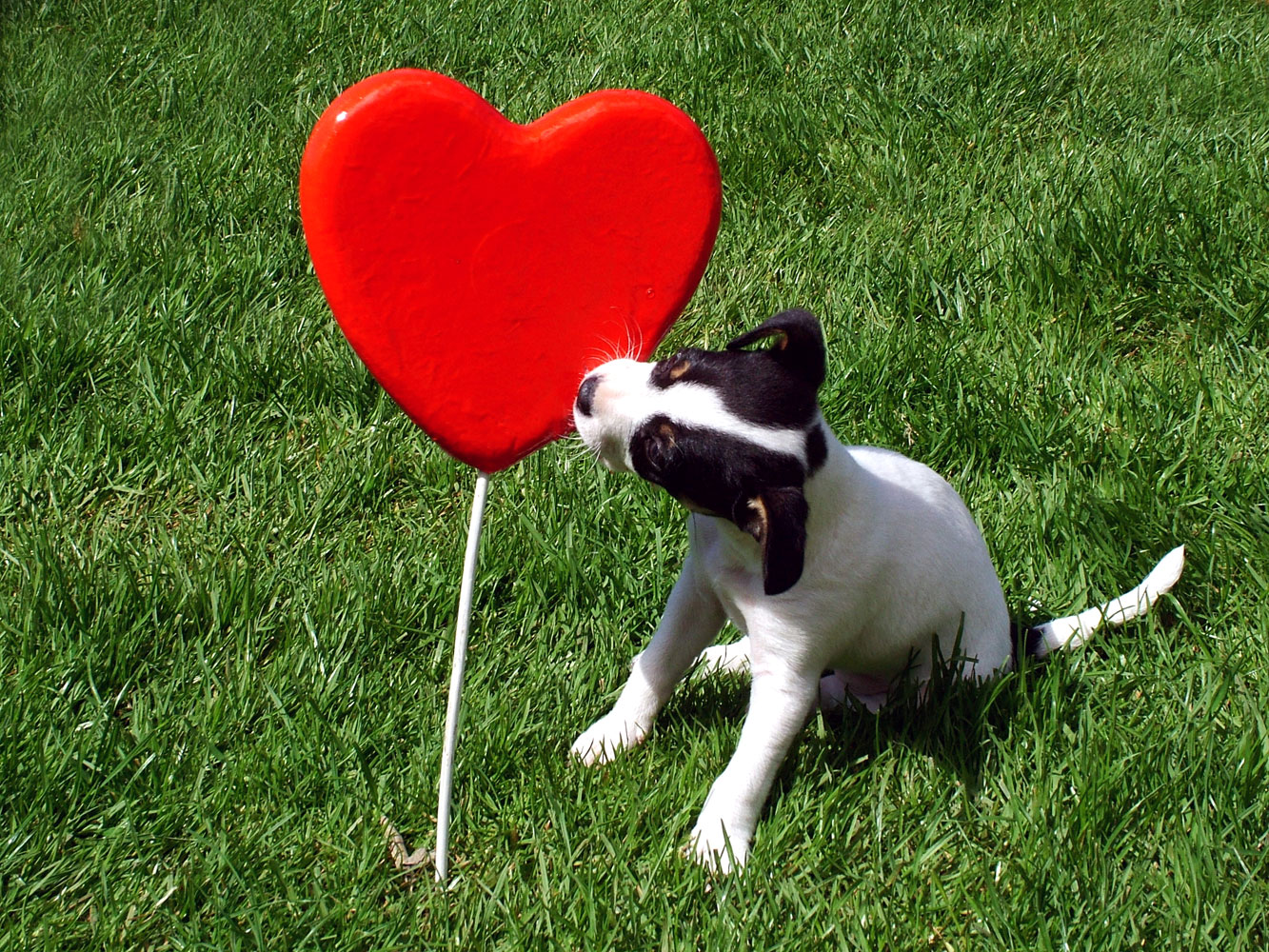Puppy kissing a heart, Animal, Cute, Dog, Excitement, HQ Photo