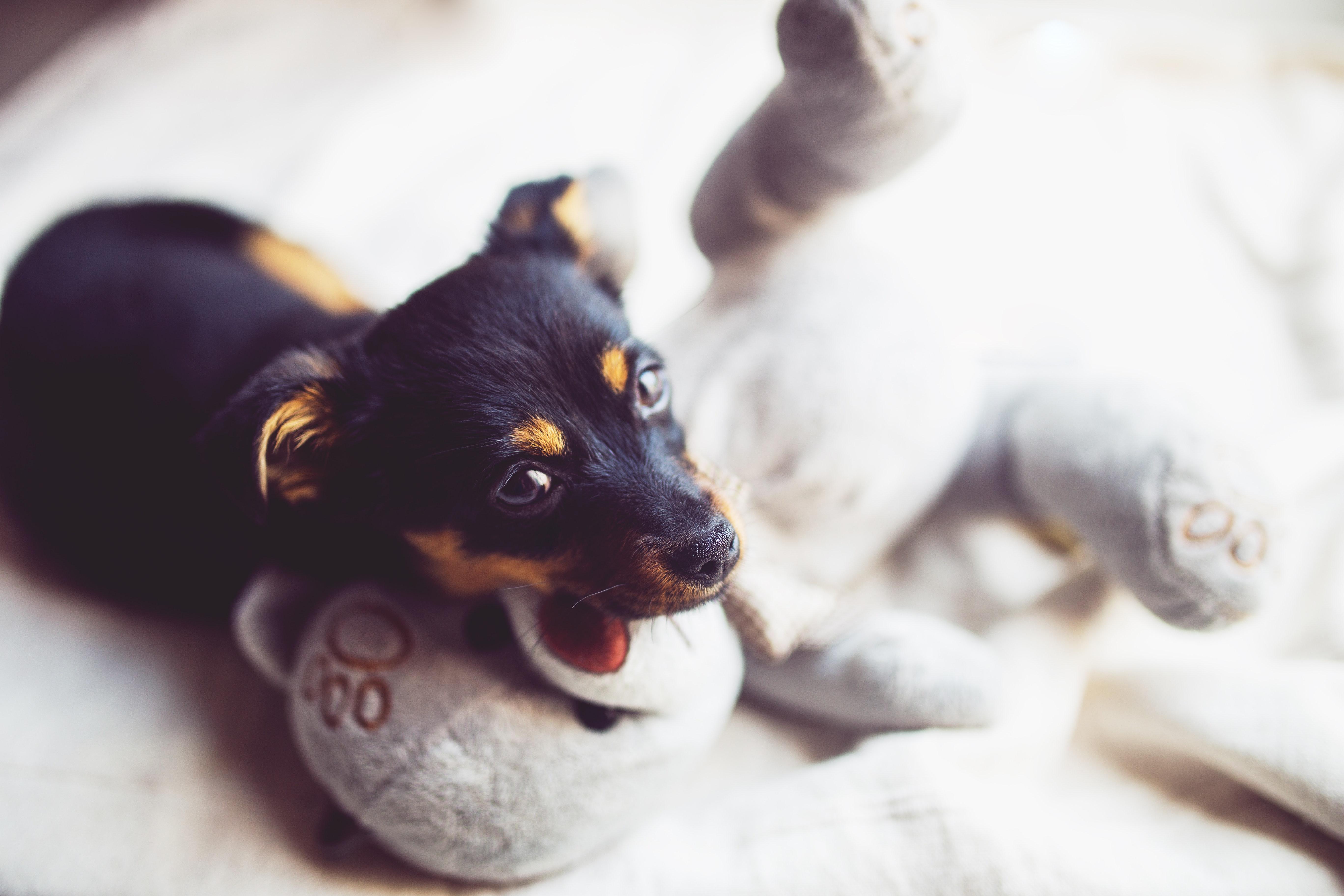 Puppy with teddy bear, Animal, Mammal, Teddy, Sweet, HQ Photo