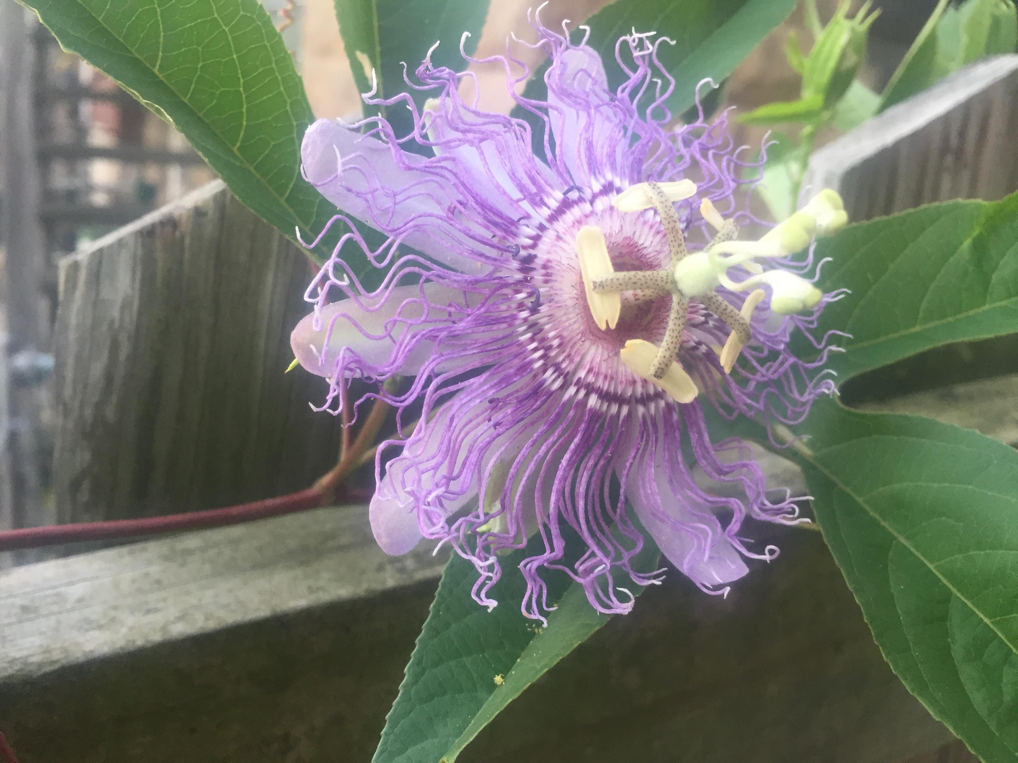 Saw this CARAZY alien flower growing on a vine out back, does anyone ...