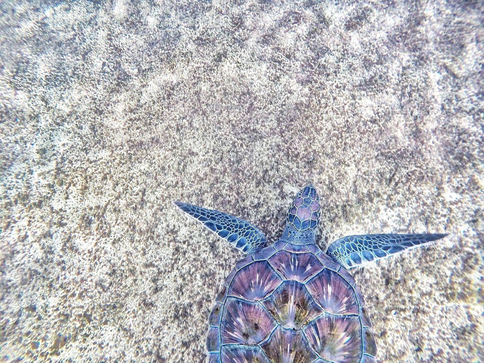 Purple and blue sea turtle photo