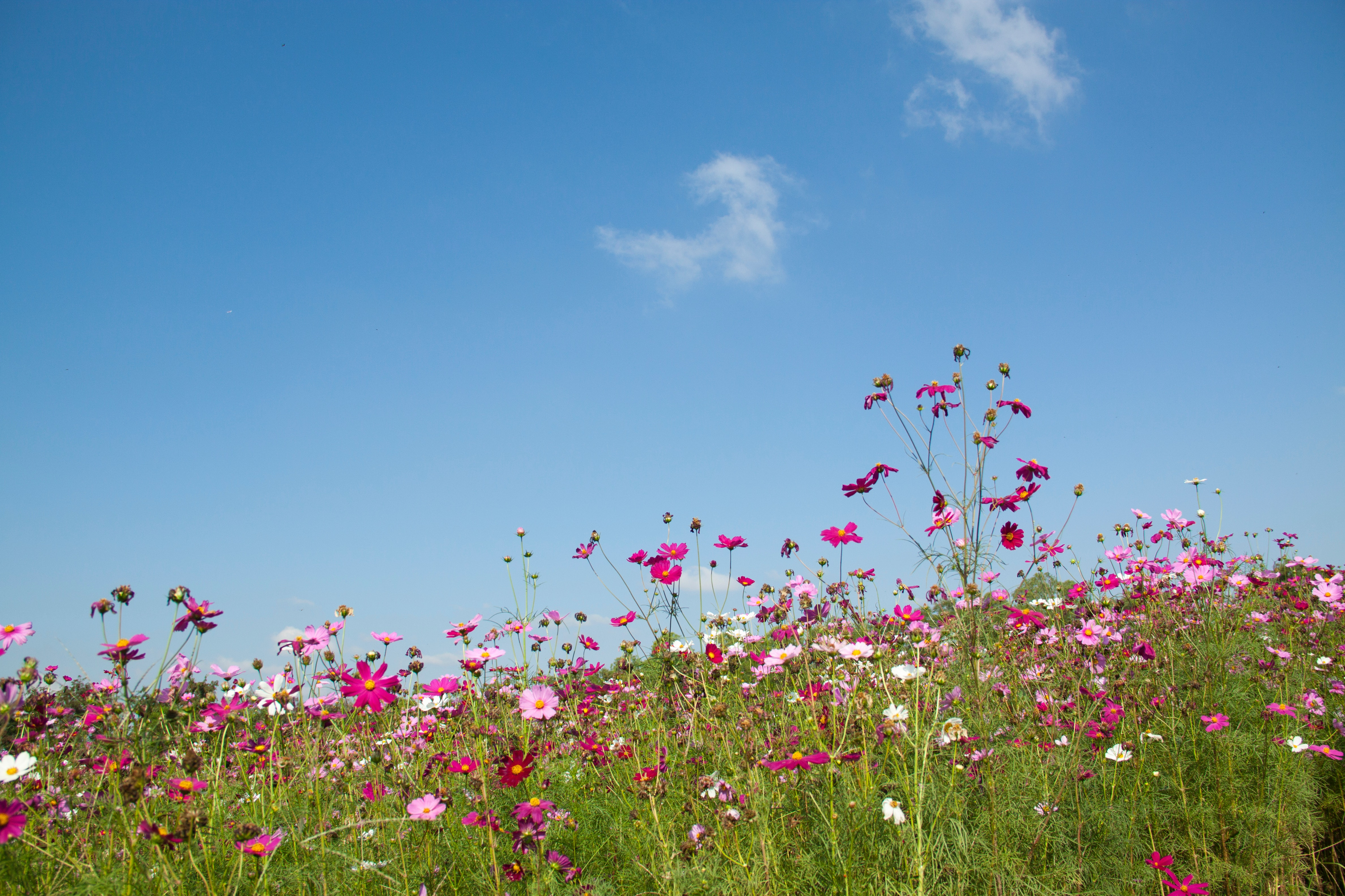 Free Photo Purple And Pink Flowers Under White Clouds During Day