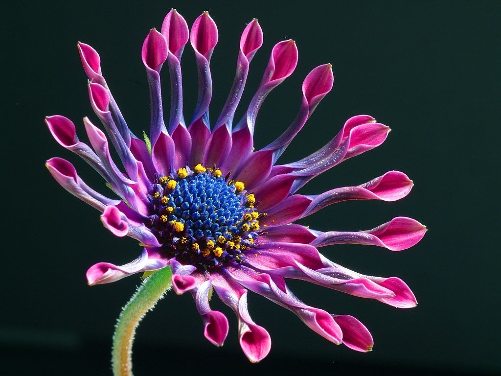 Purple and pink petaled flower photo