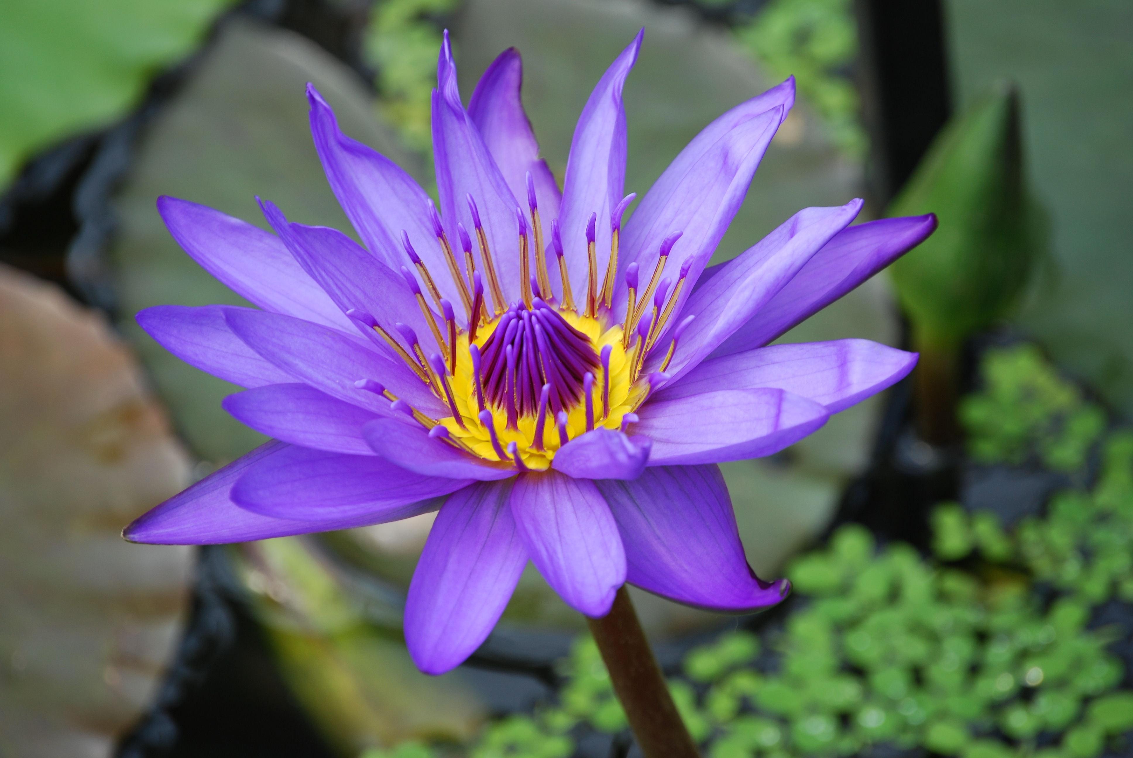 Purple and yellow lotus flower photo