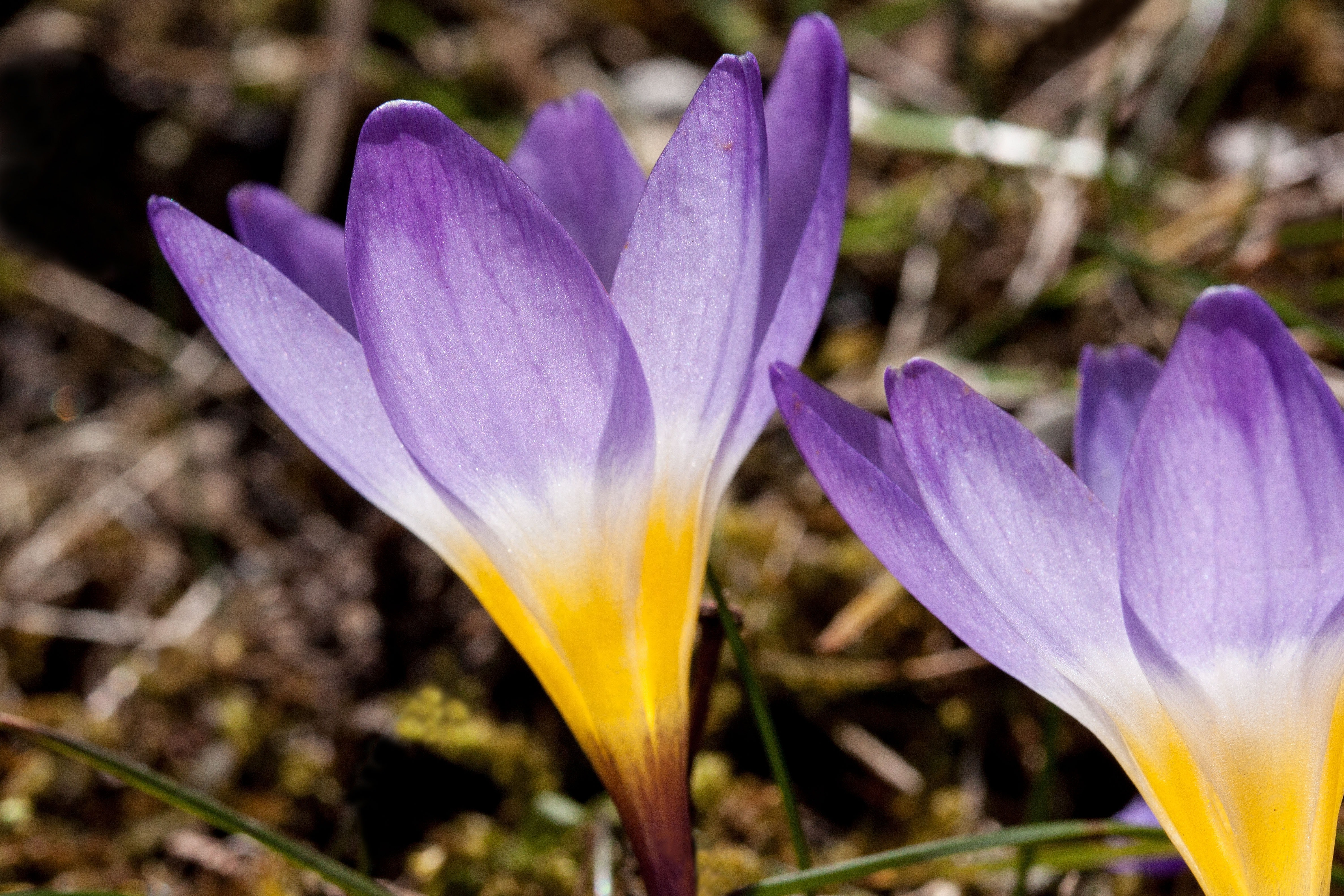 Purple and yellow petalled flower photo