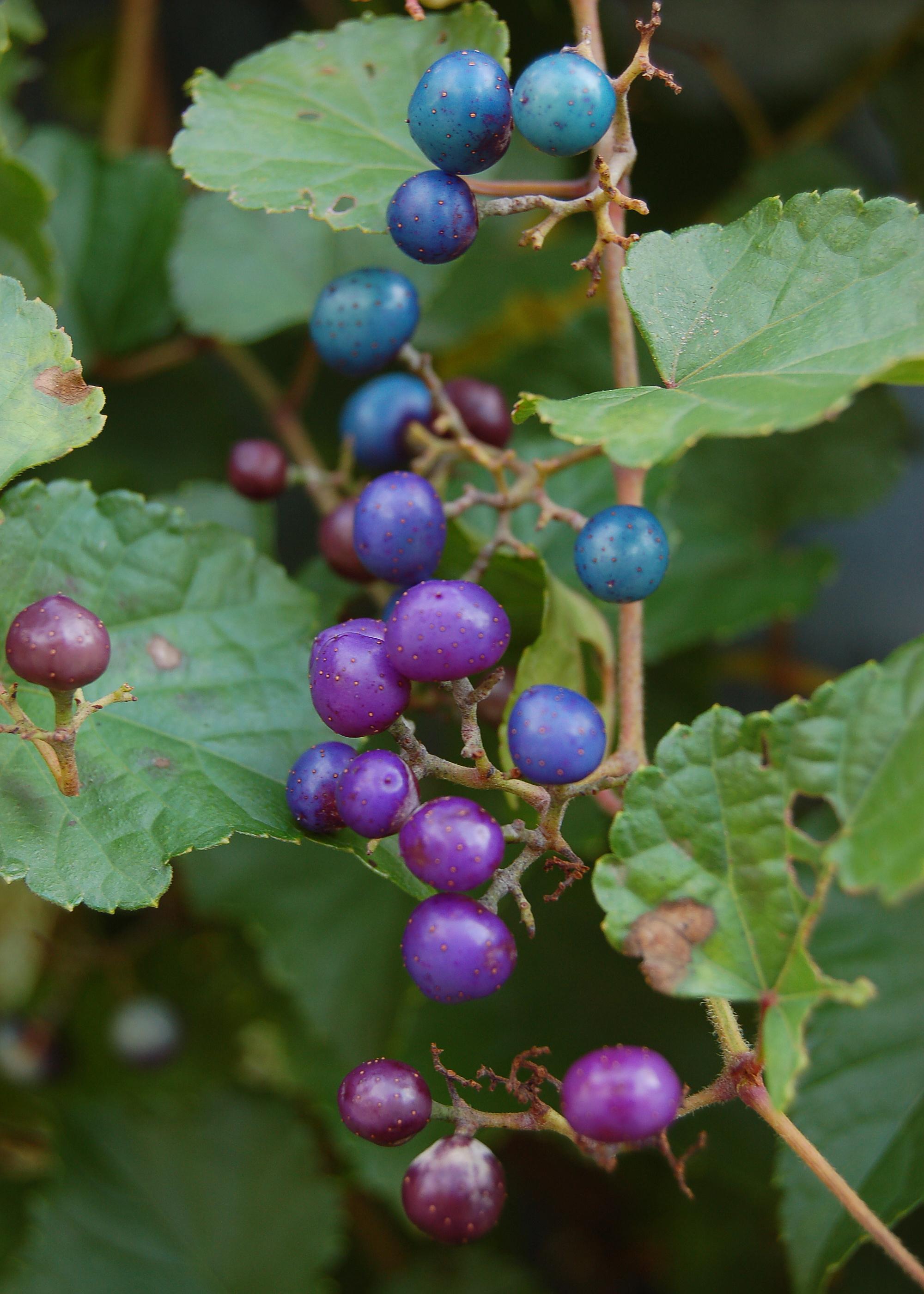 File:Ampelopsis glandulosa var. brevipedunculata - Blue and Purple ...