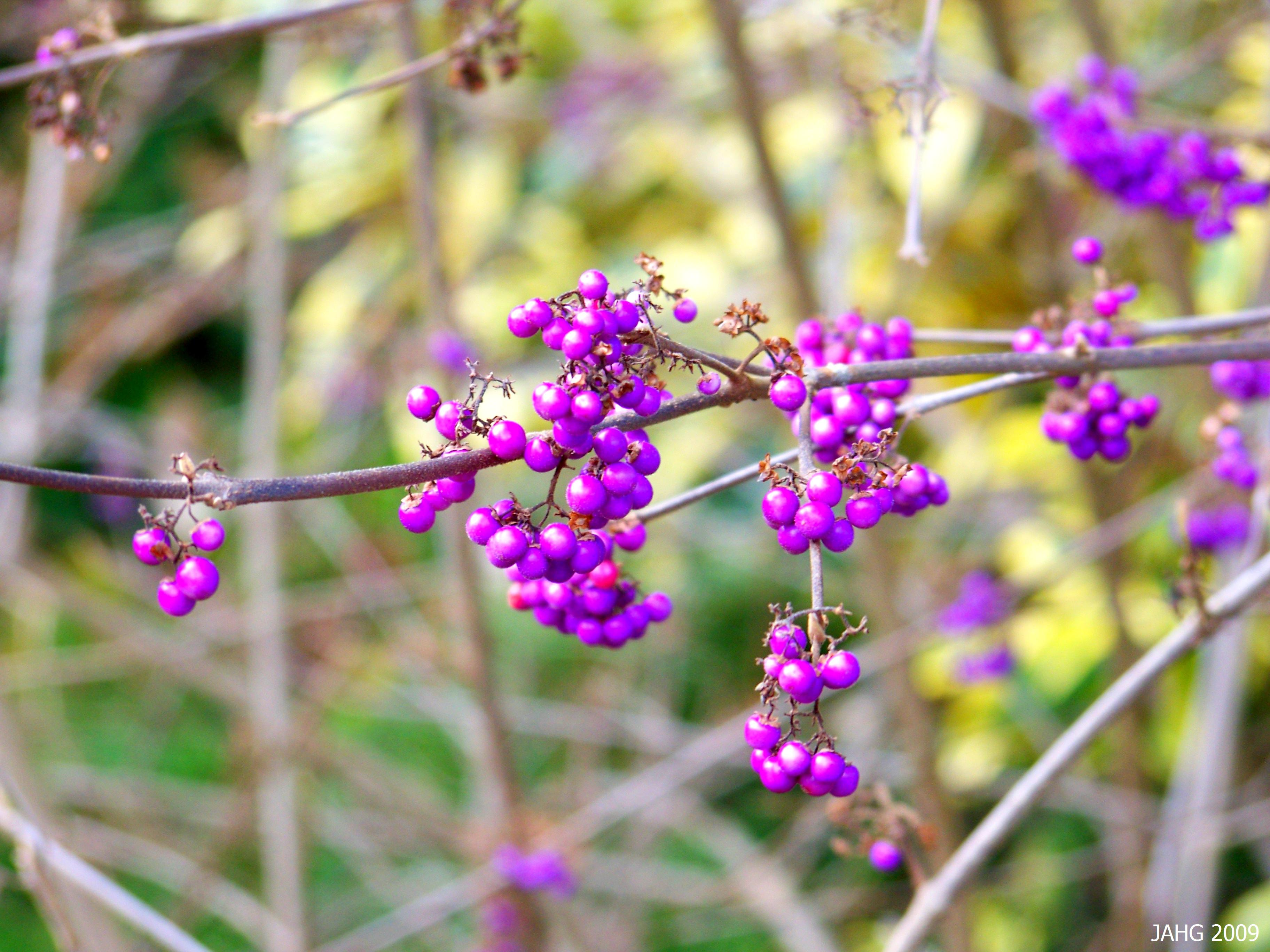purple berries | Name That Plant
