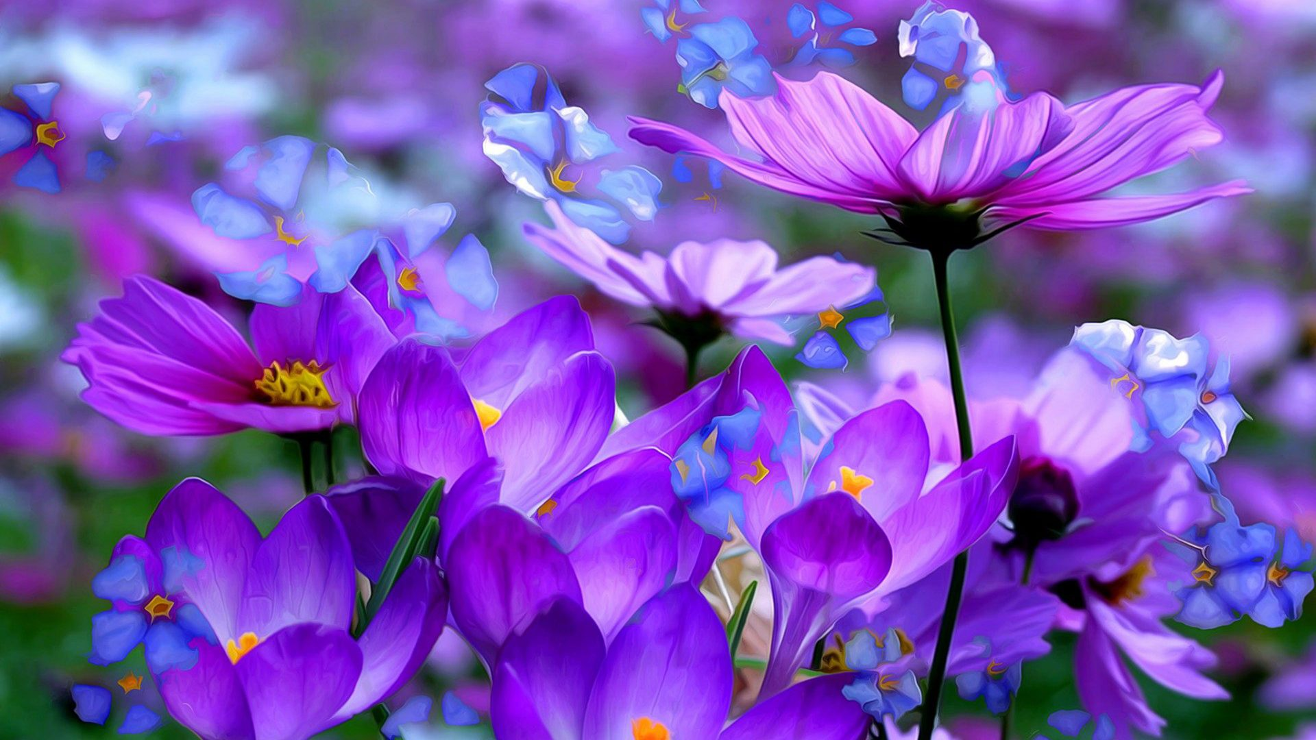 Crocuses Beautiful Purple Flowers Colored Detsktop Wallpaper Hd ...